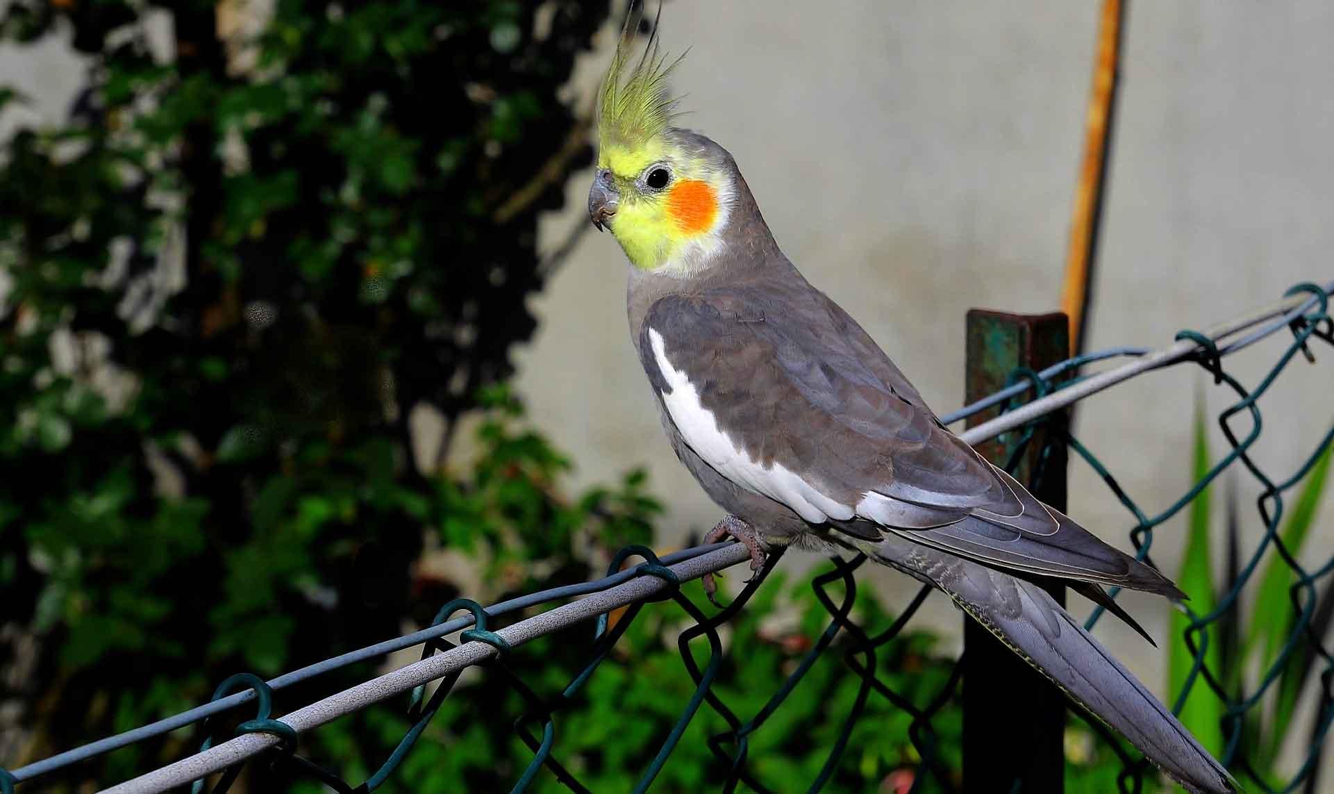Корелла выглядит небольшой птицей