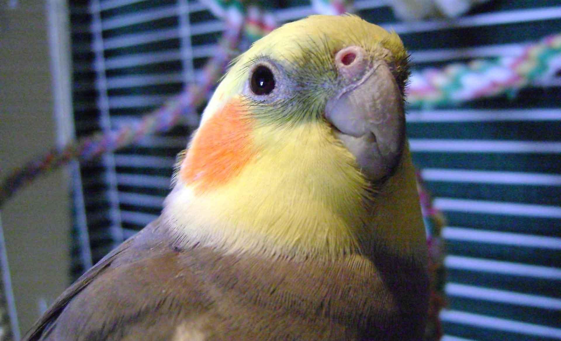 Корелла - говорящий попугай