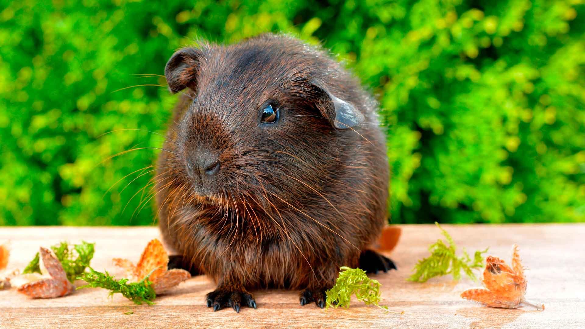 Морским свинкам можно давать травы
