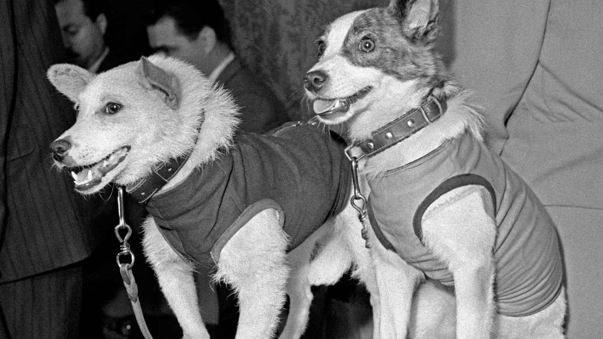 Белка и Стрелка – собаки-космонавты, которые первыми побывали в космосе