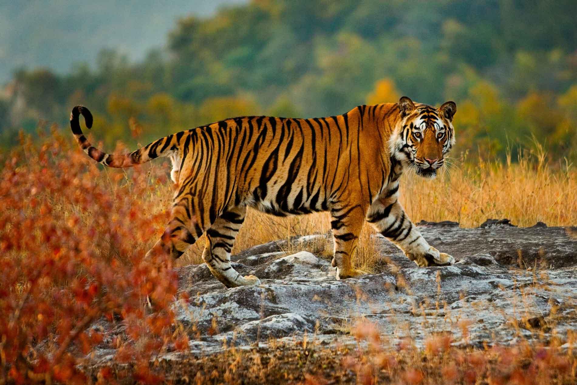 tiger national animal of india