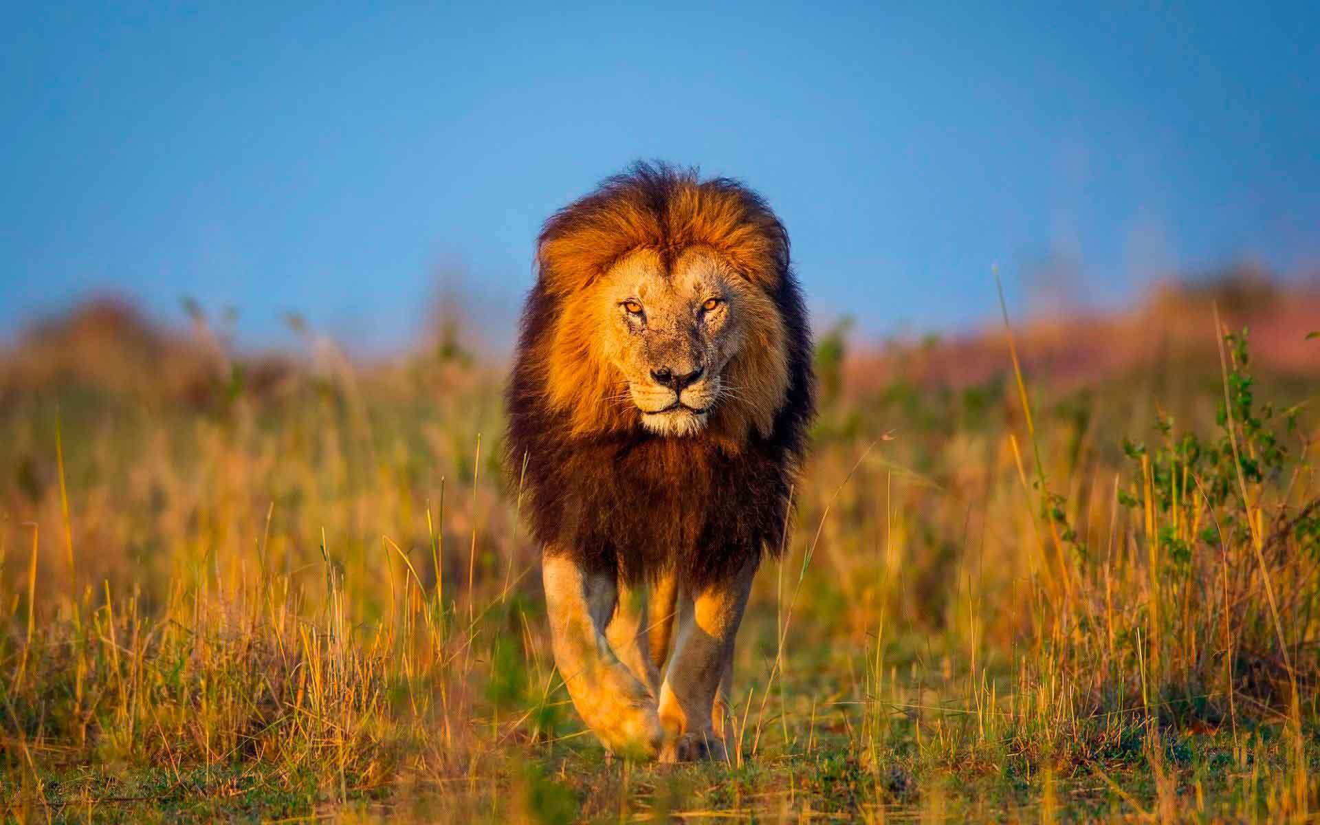 Лев - опасное животное
