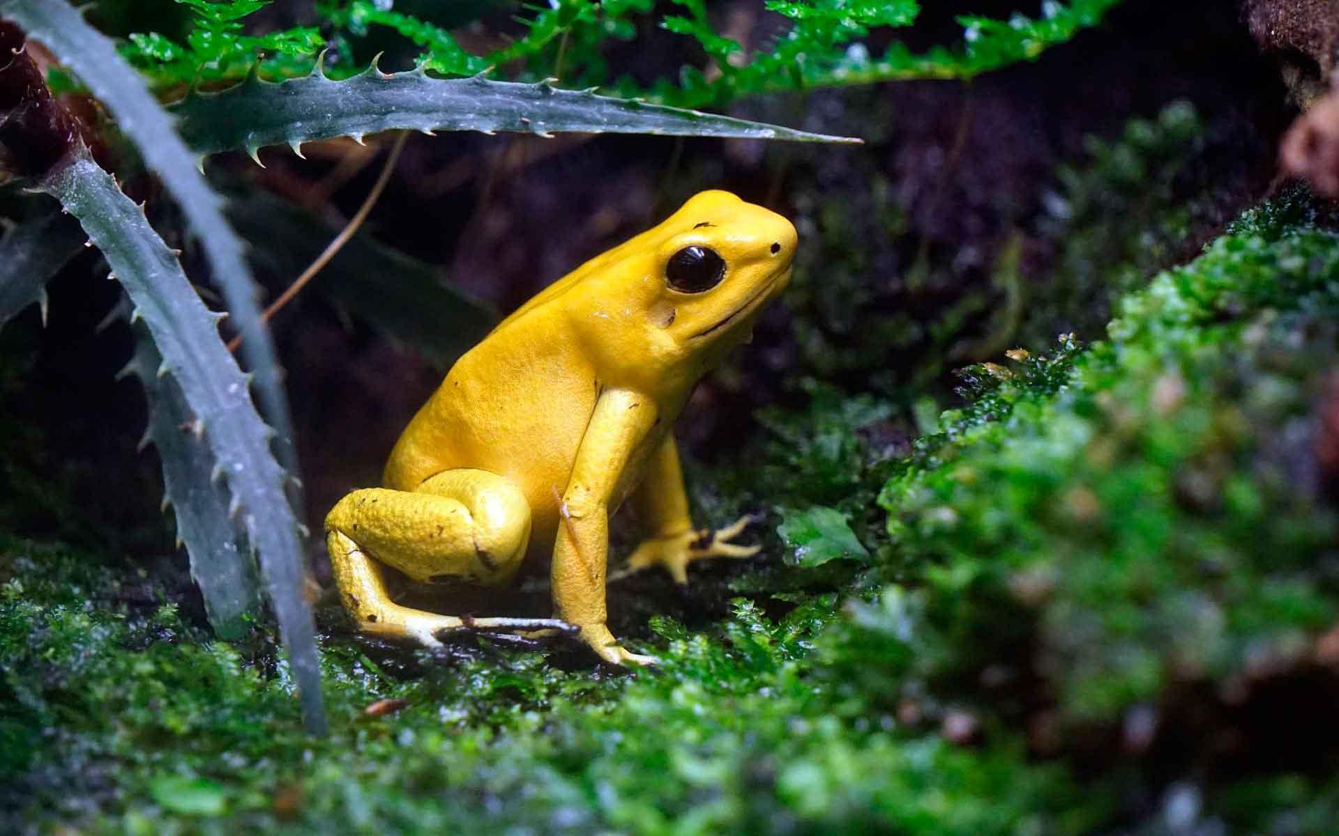 Листолаз ужасный - самая опасная лягушка