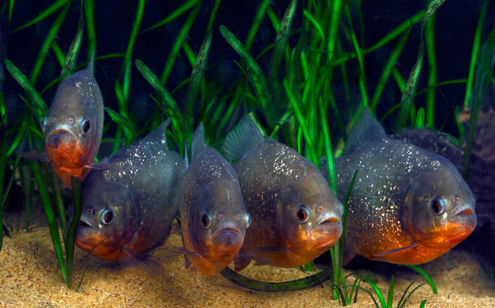 Пиранья - самая опасная рыба в мире