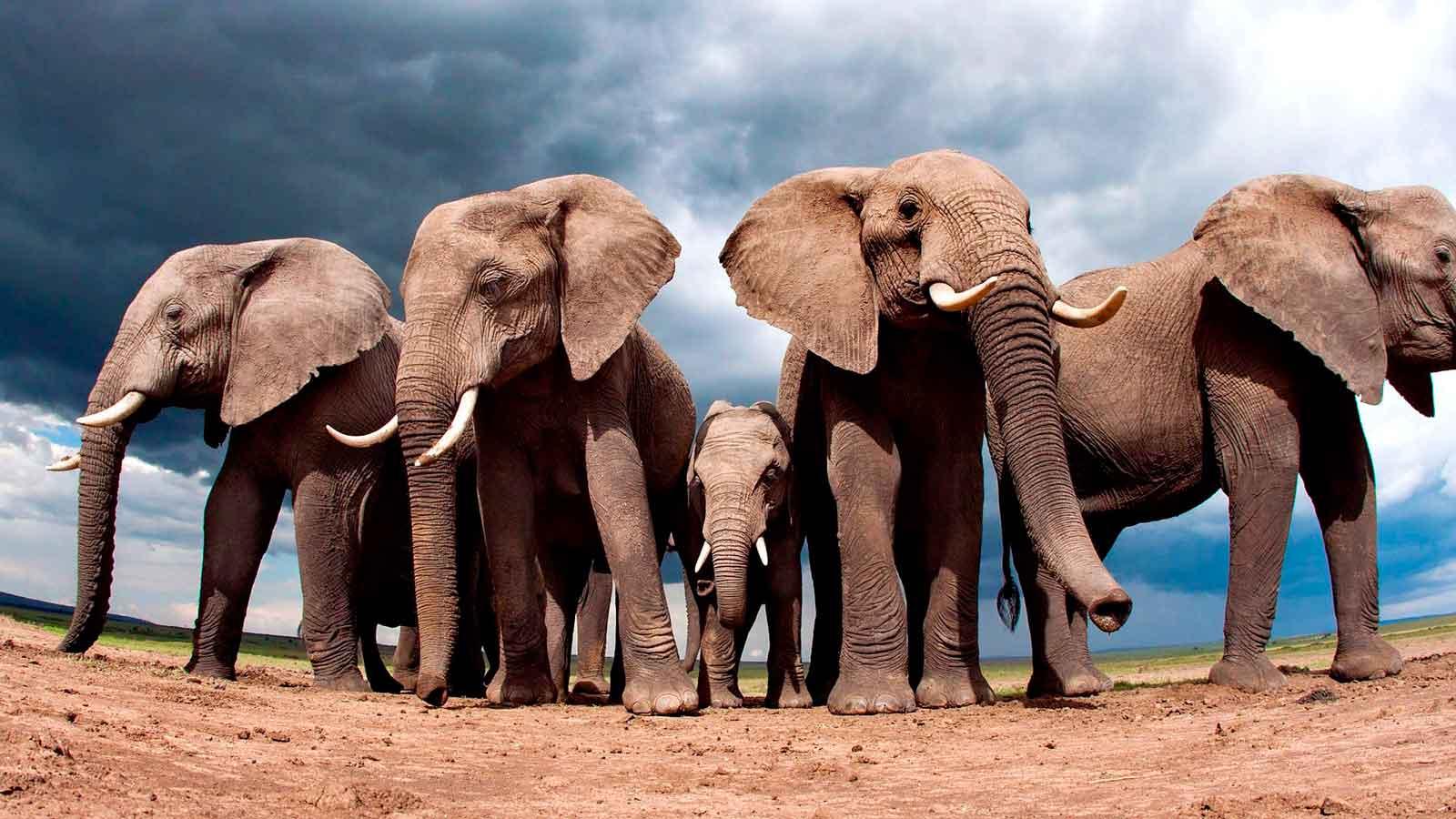 Слон - самое опасное животное в мире