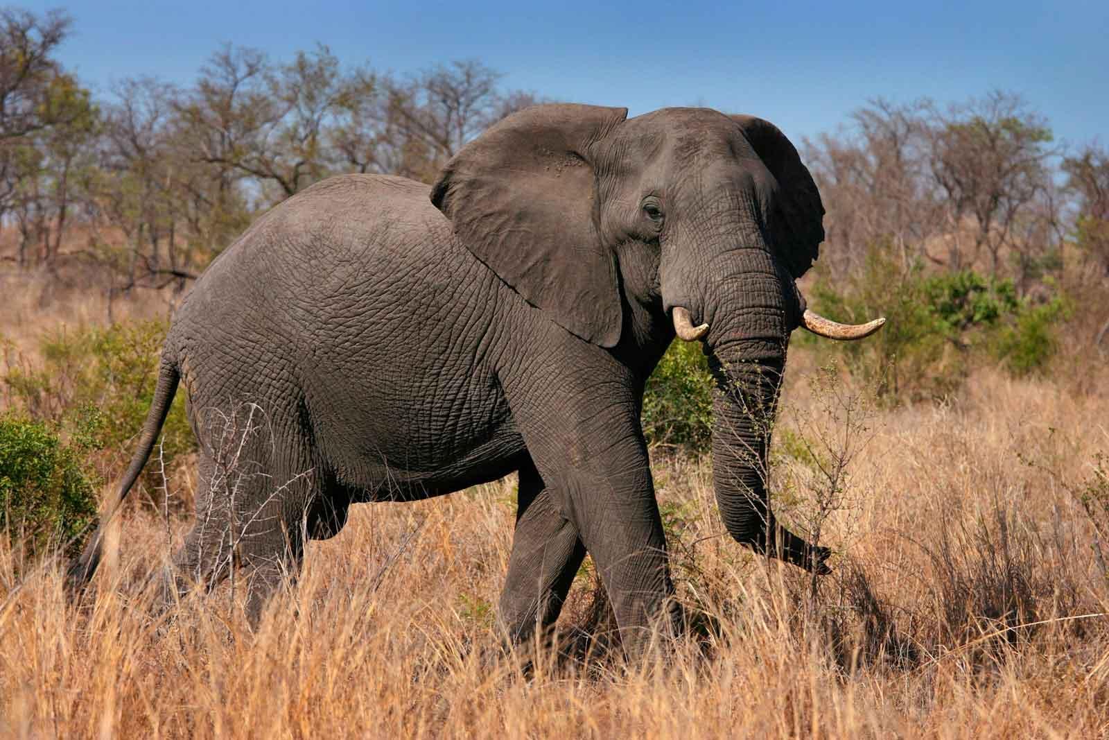 Одинокий слон - очень опасное животное