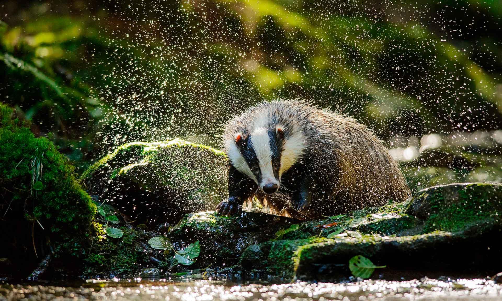 Животное барсук – необычный обитатель леса