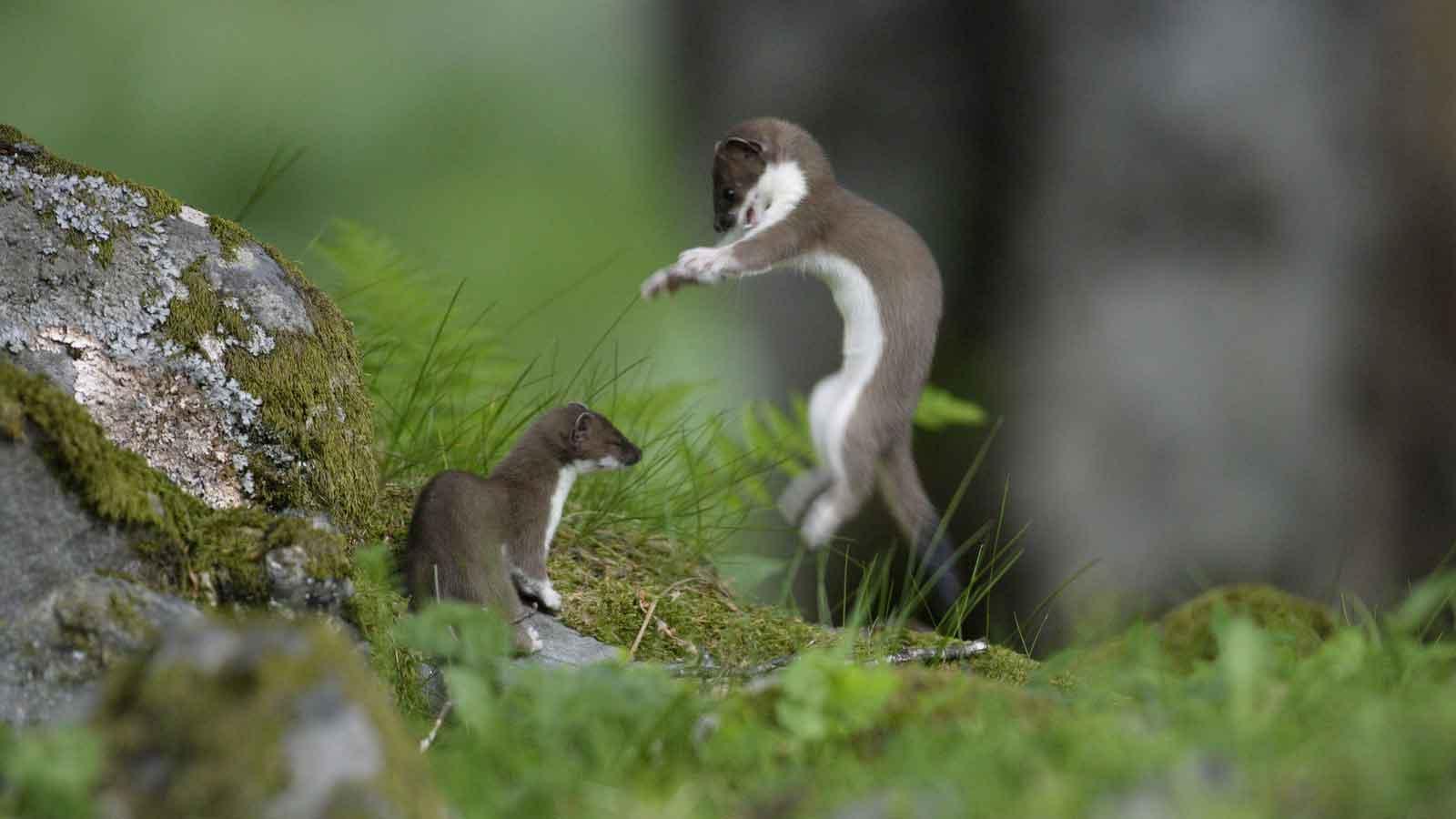 Горностай – шустрый хищный зверек