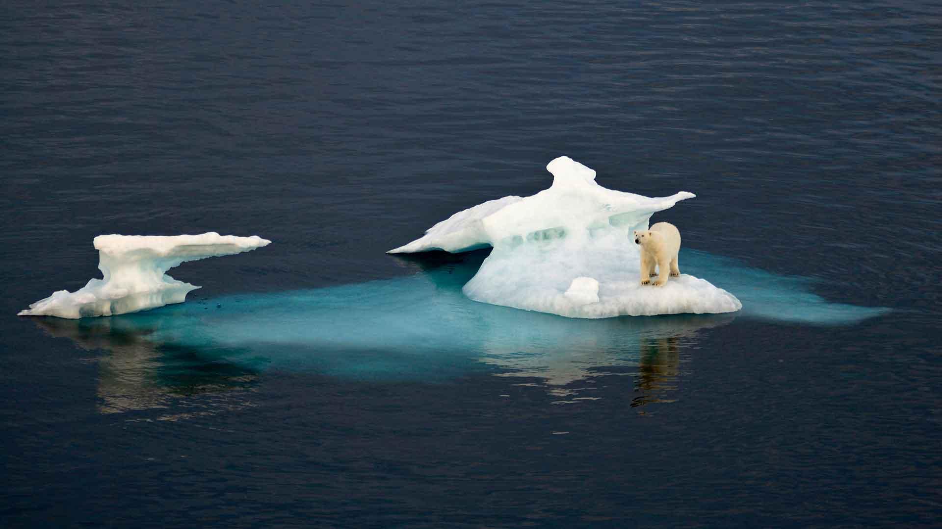 Белый медведь обитает на дрейфующих льдах, чтобы охотиться на добычу