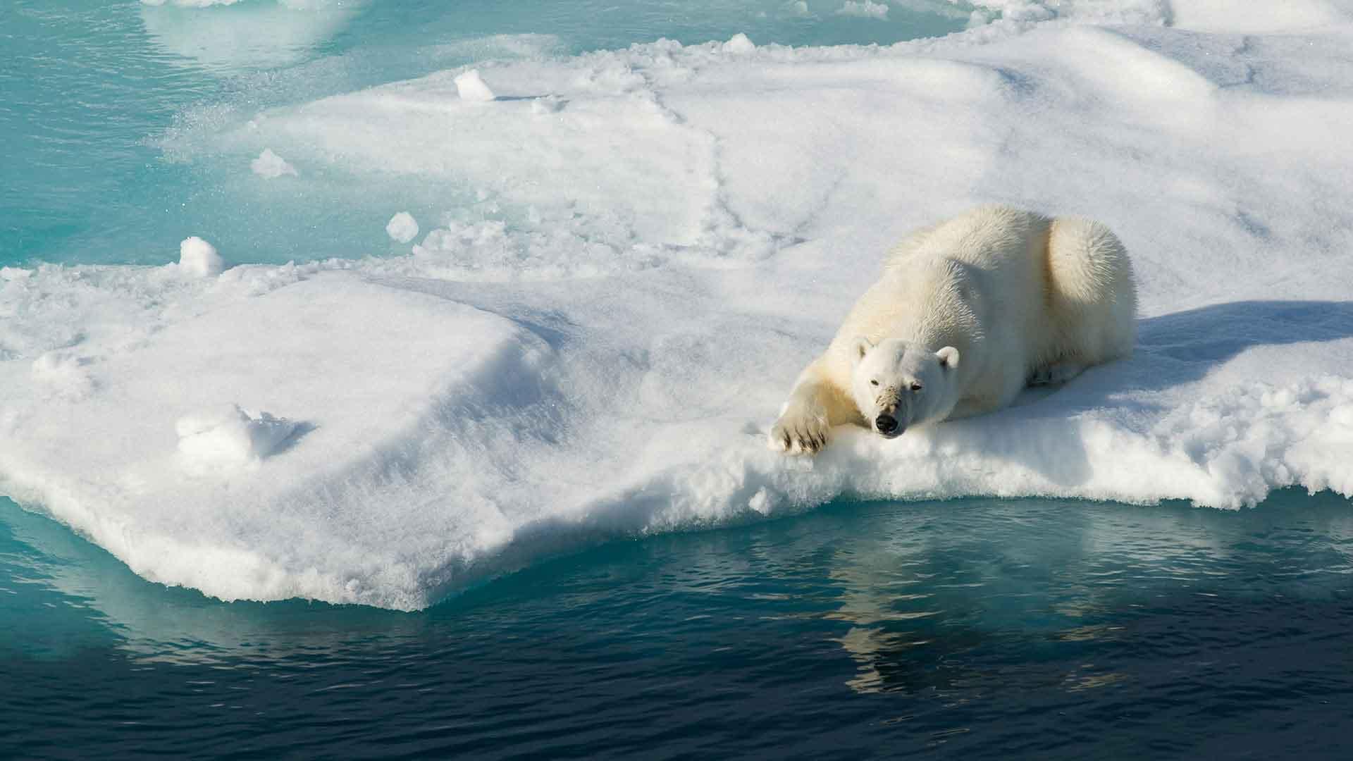 Шерсть белого медведя обеспечивает превосходную маскировку