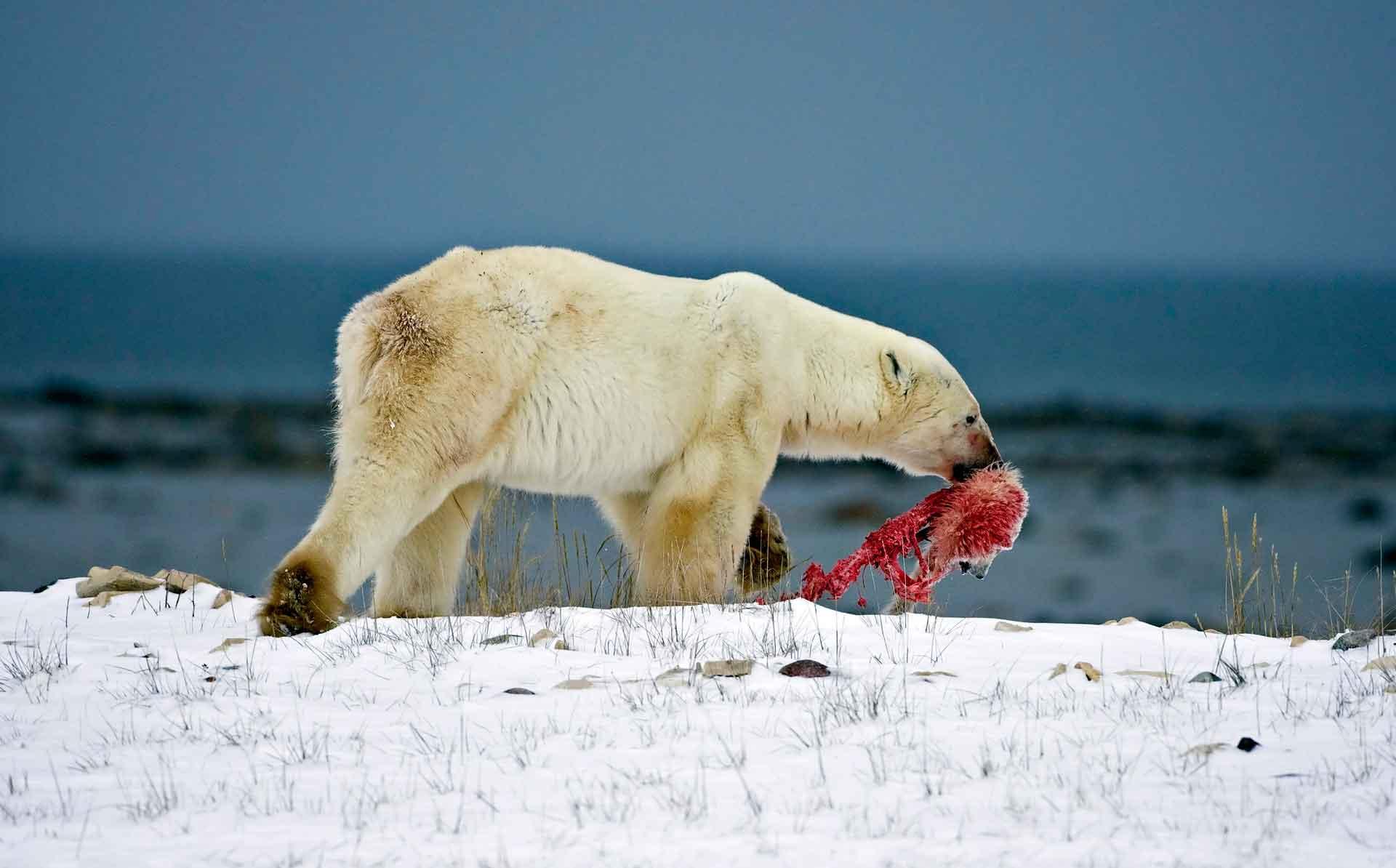 Белый медведь питается морскими животными
