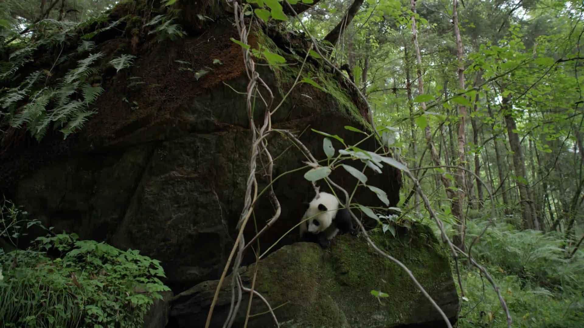 Берлога панды
