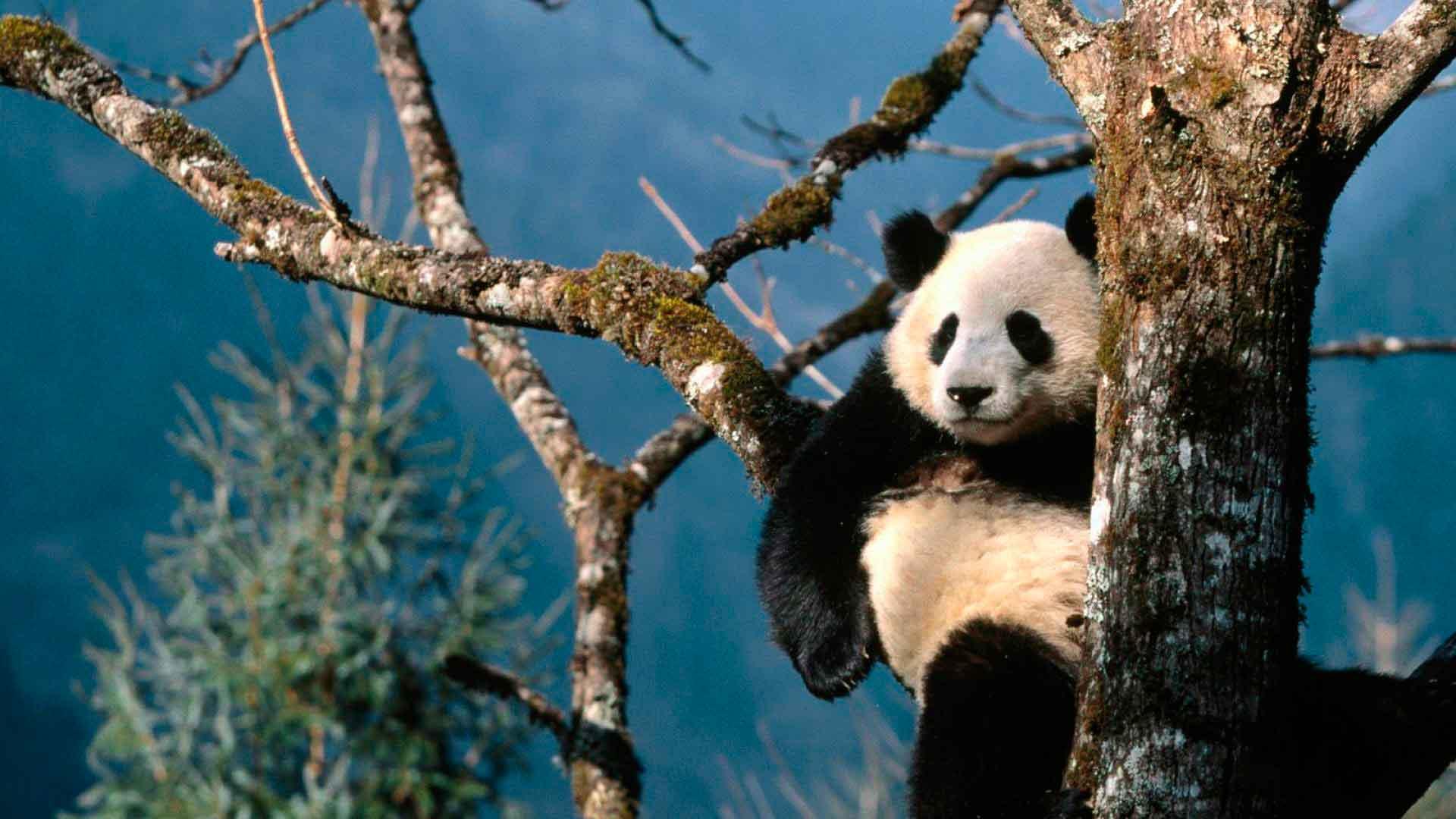 Большая панда отдыхает на дереве