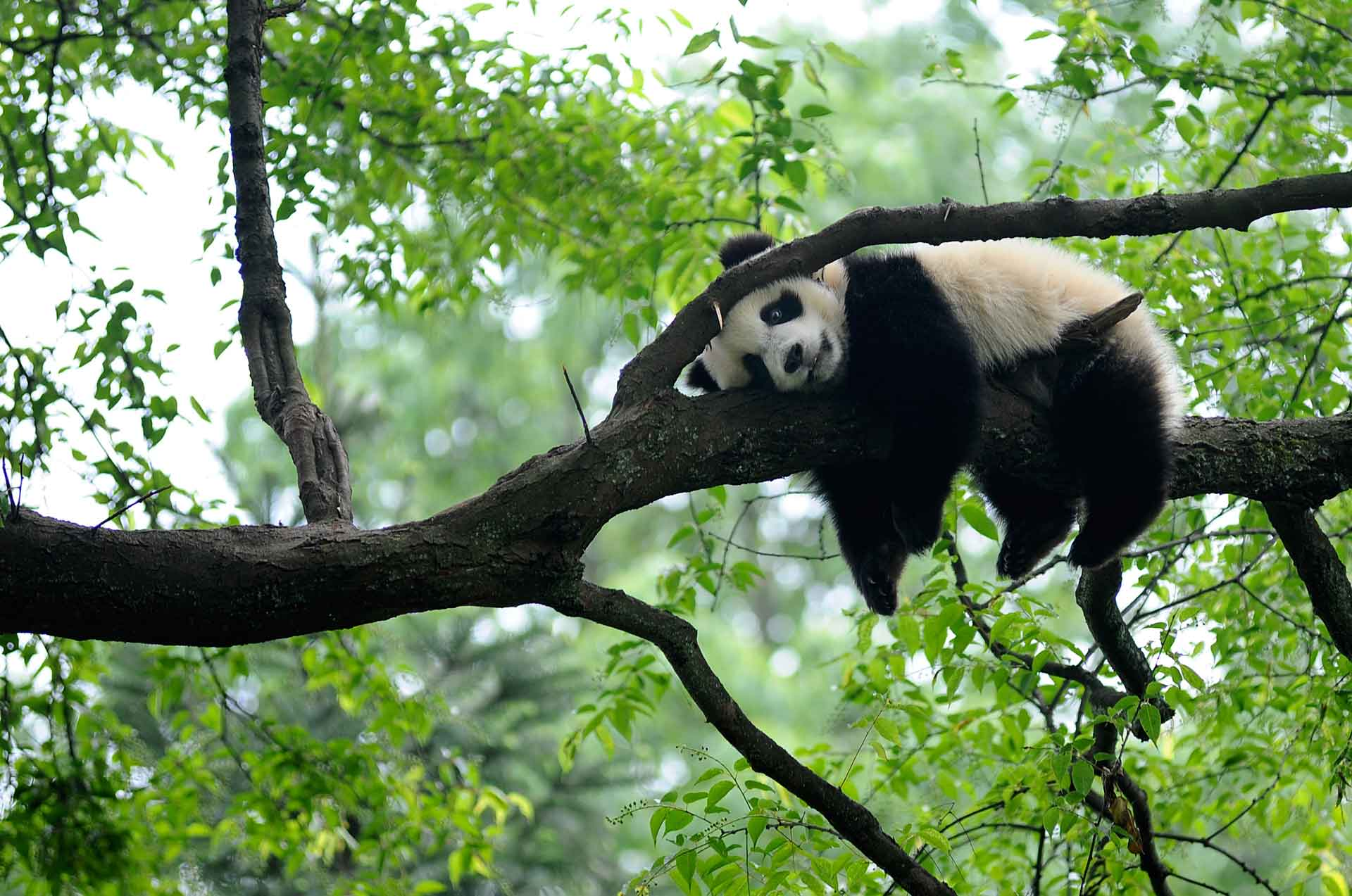 Детеныши панды очень игривы