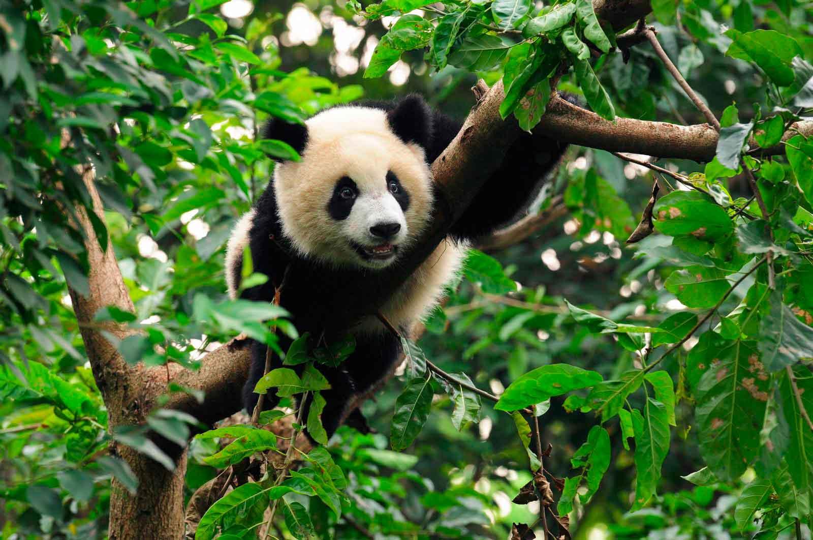 Детеныш панды на дереве
