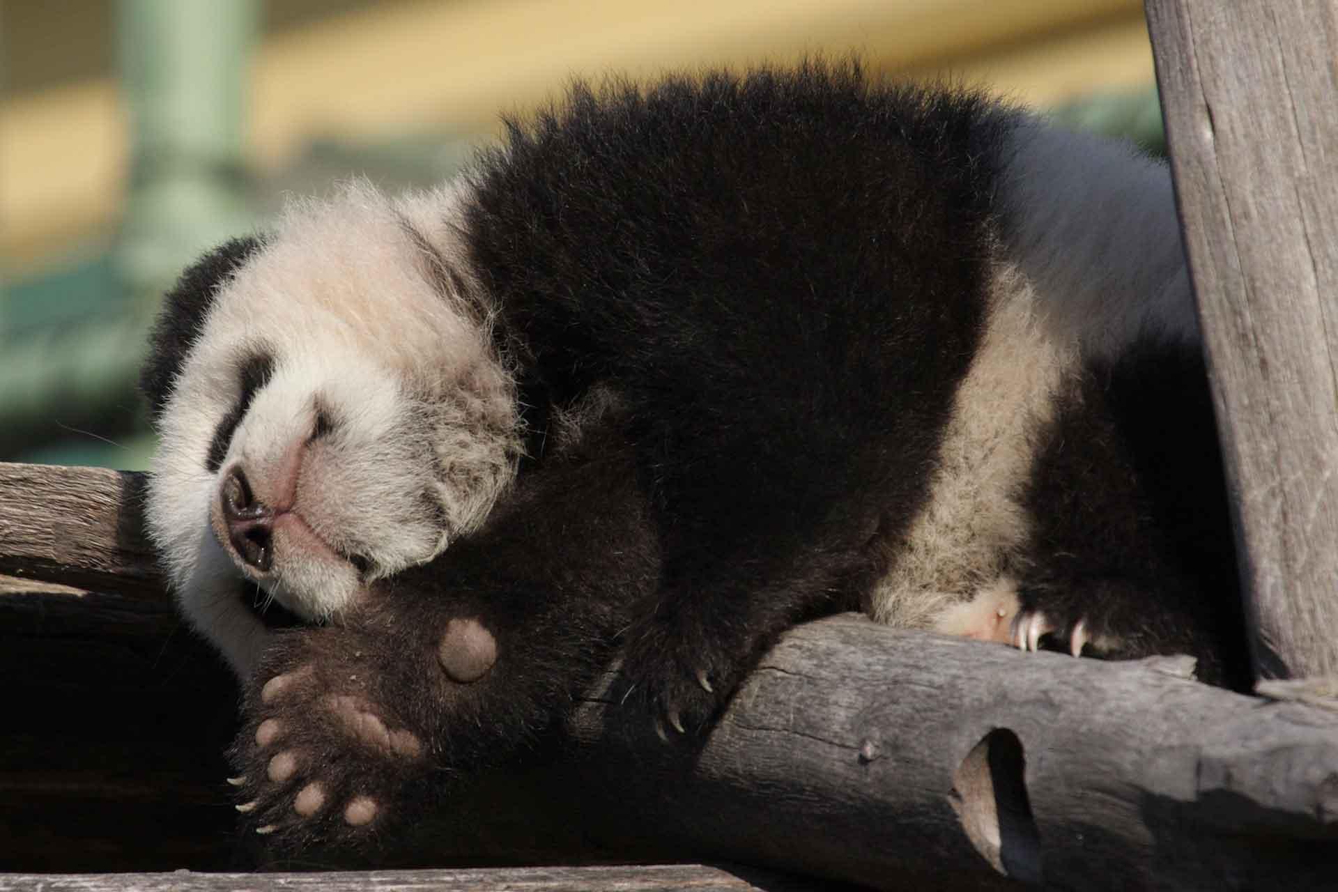 Детеныш панды фото
