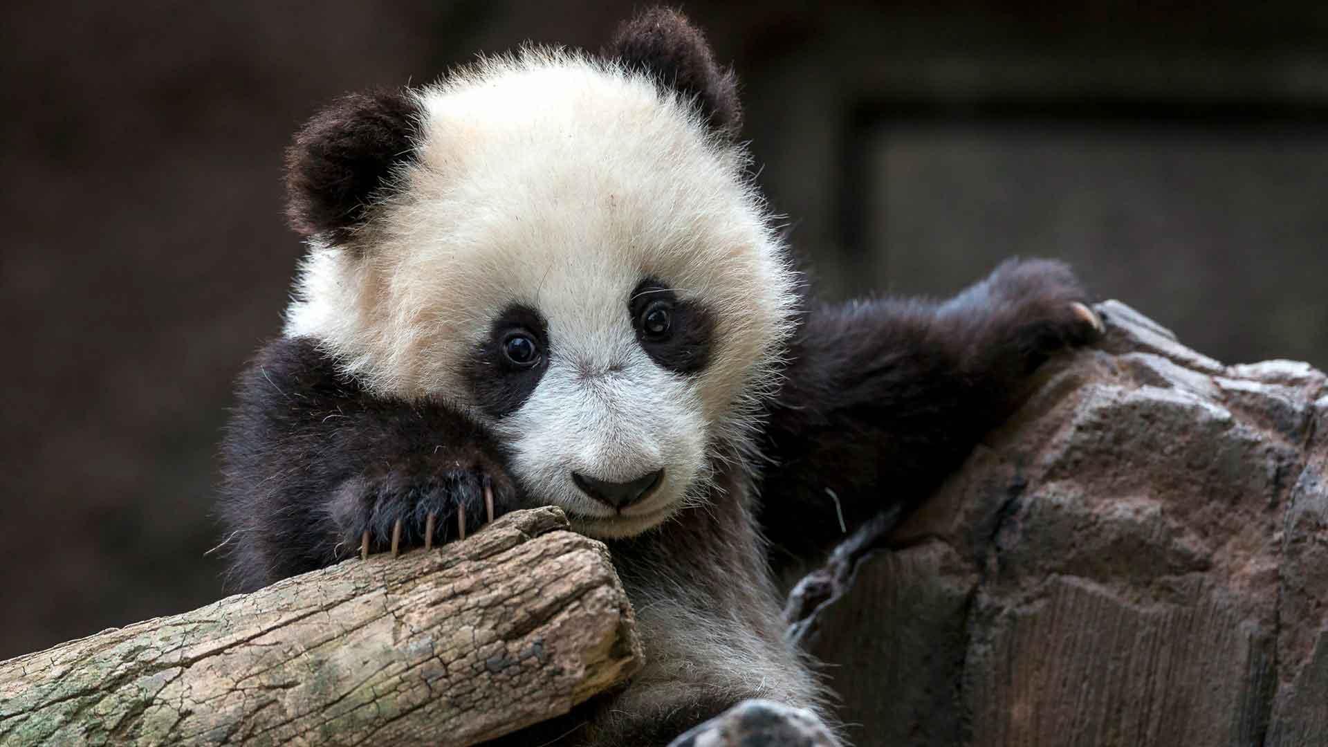 Детеныши панды быстро рстут