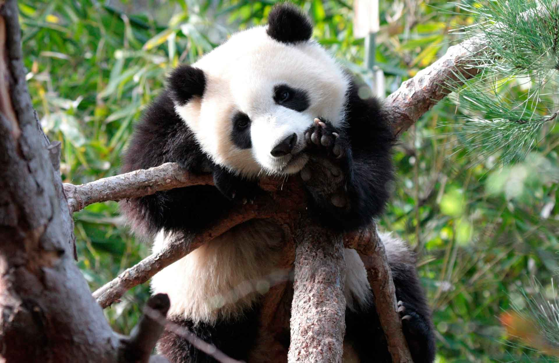 Panda Decor Amazoncom