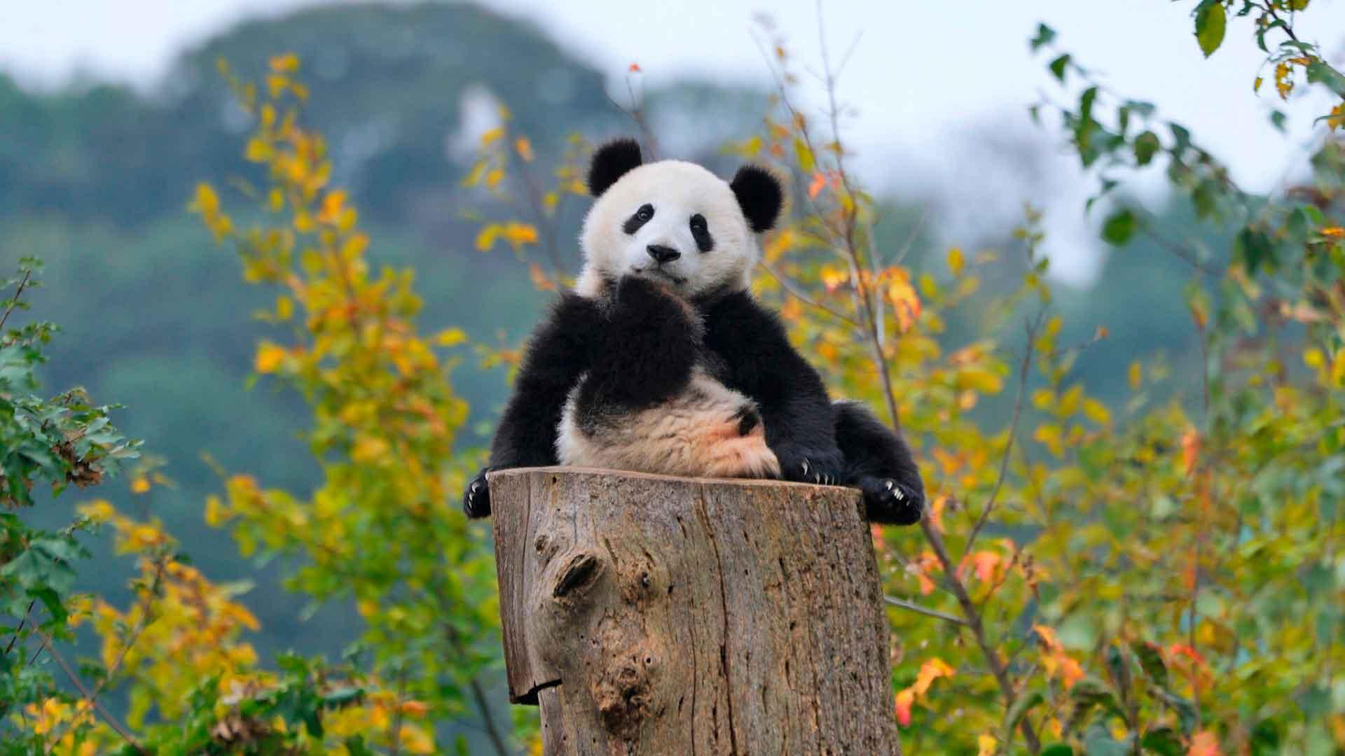 Маленький детеныш панды