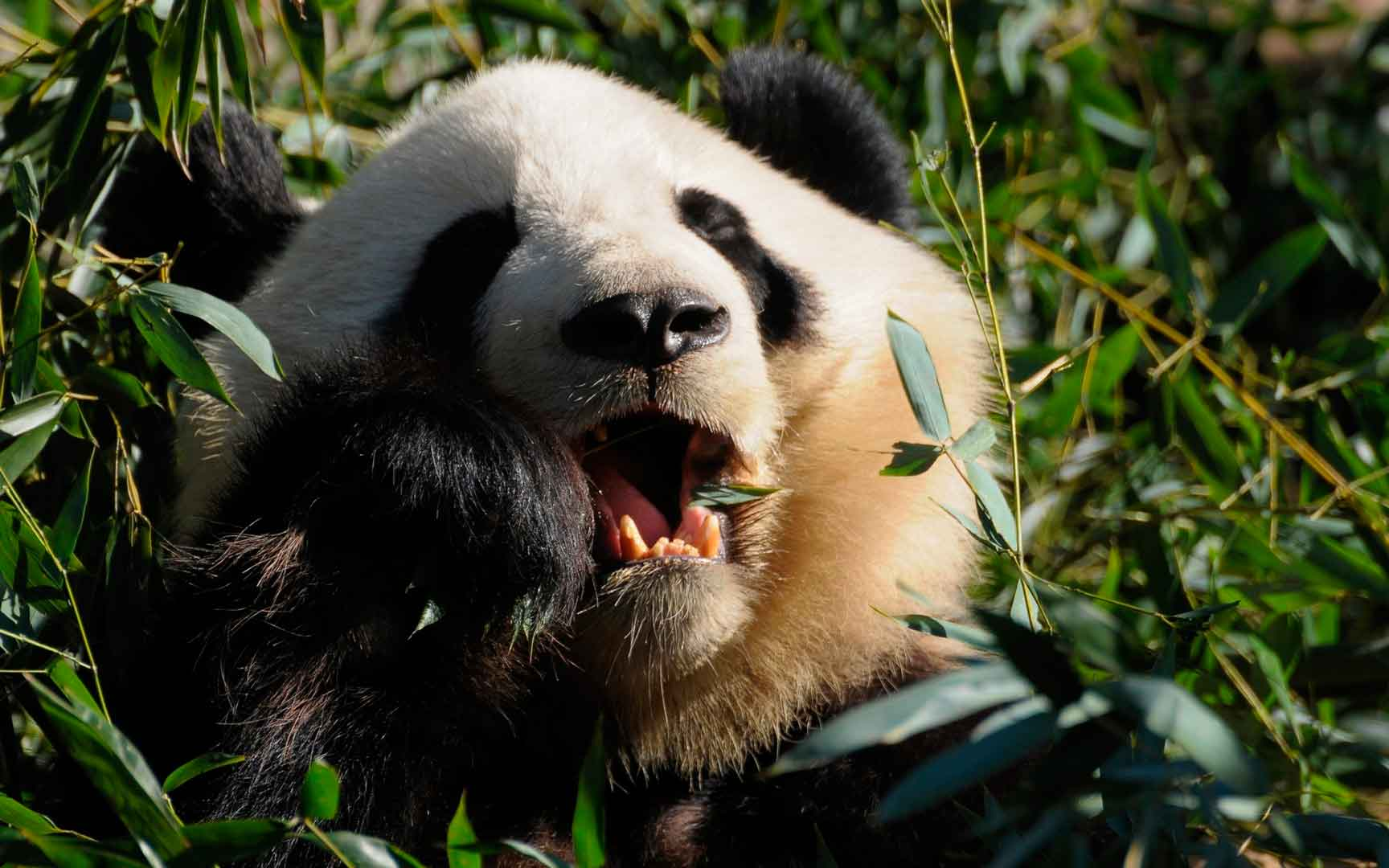 Панда в зарослях бамбука