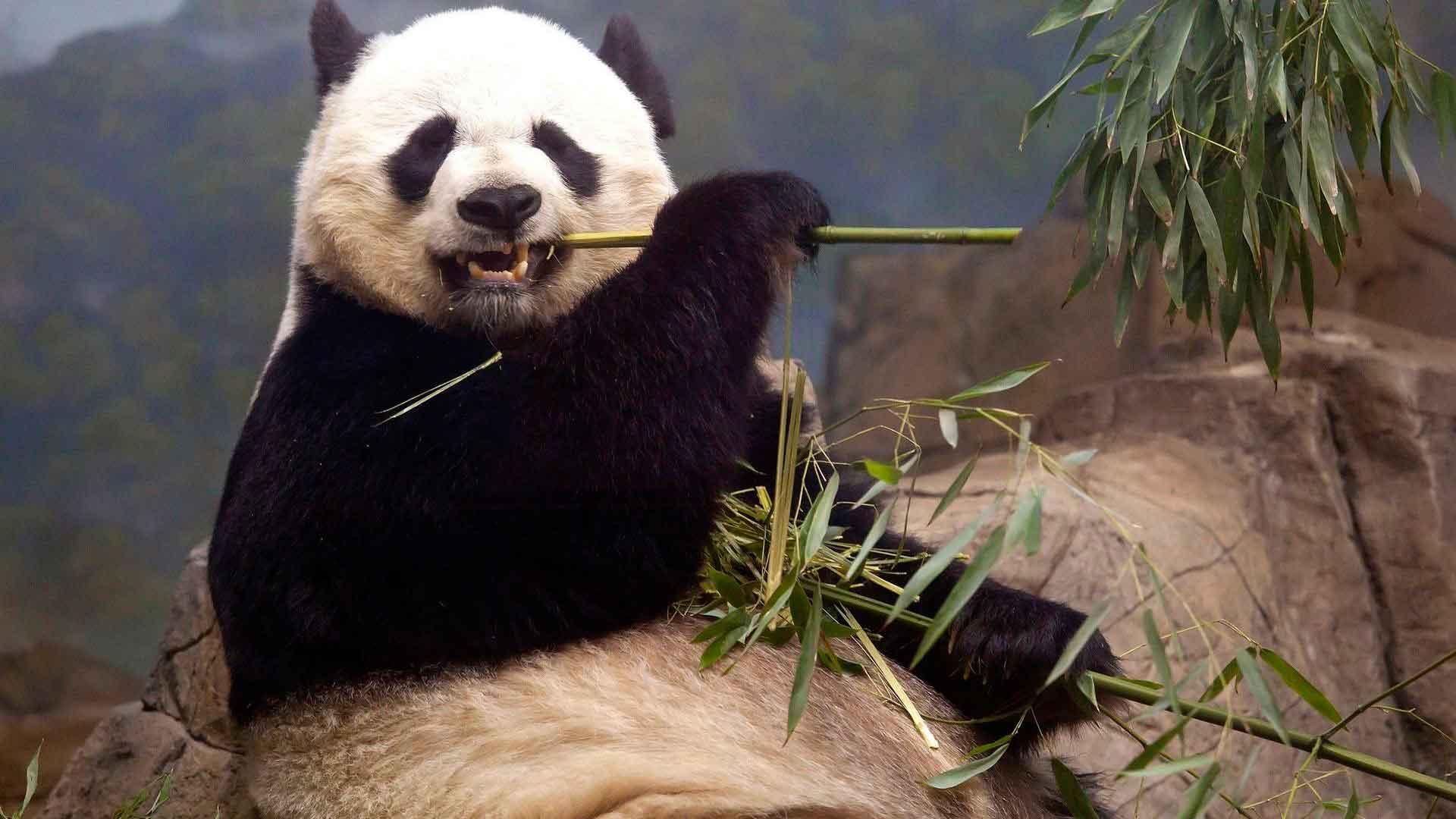 Панда любит бамбук