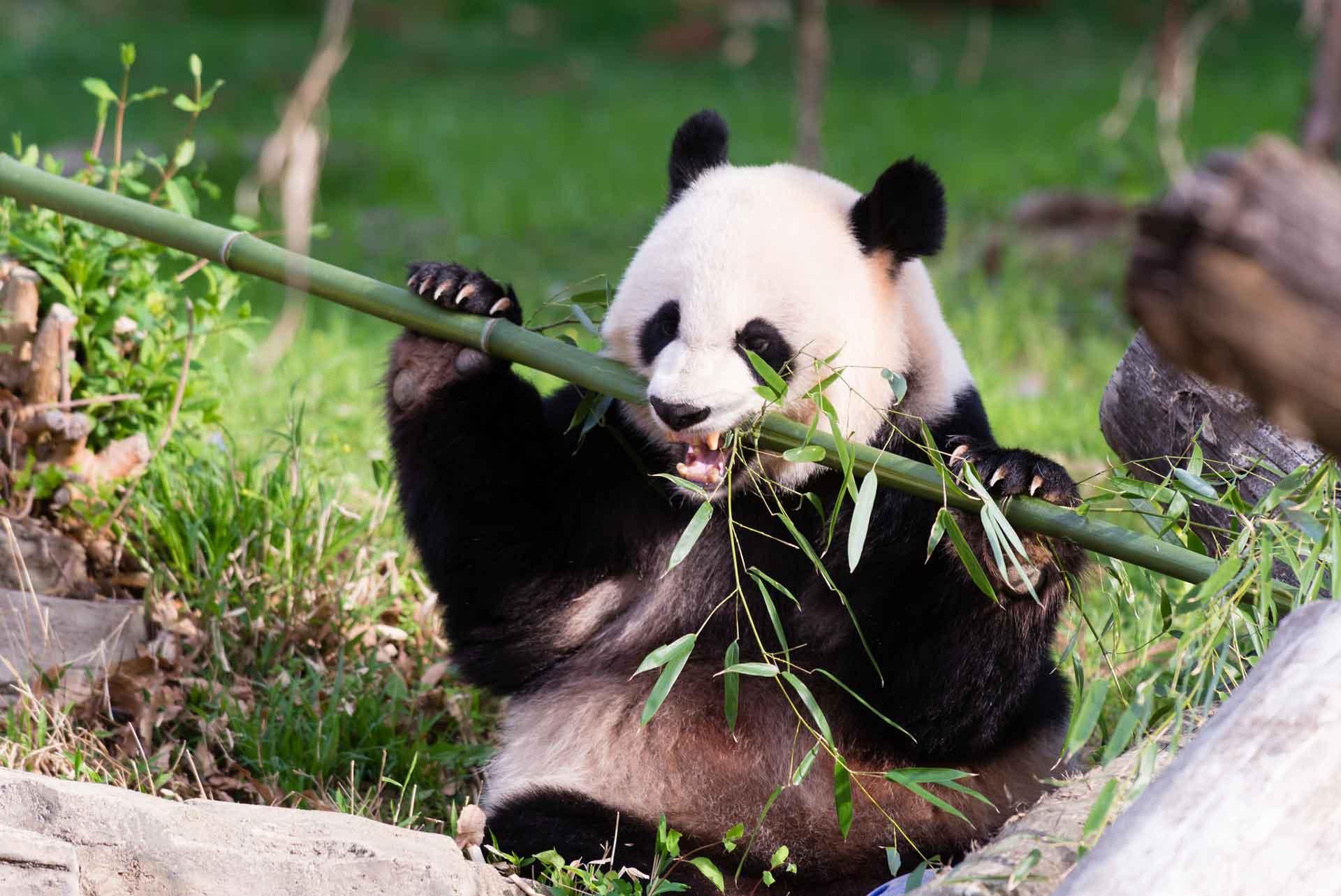 Панда ест в вертикальной позе