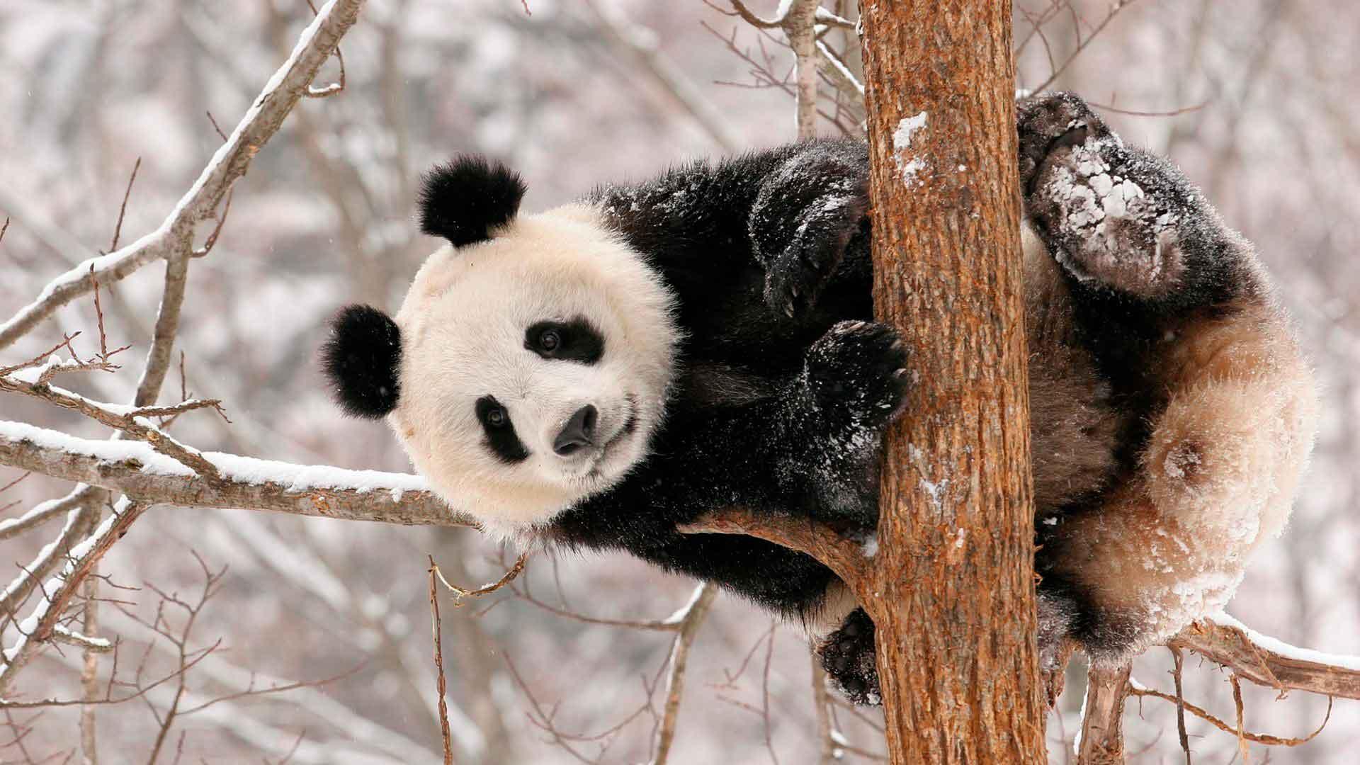 Панды хорошо лазают по деревьям