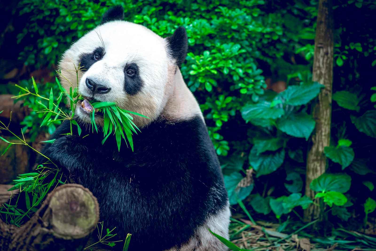 Панда - редкое животное