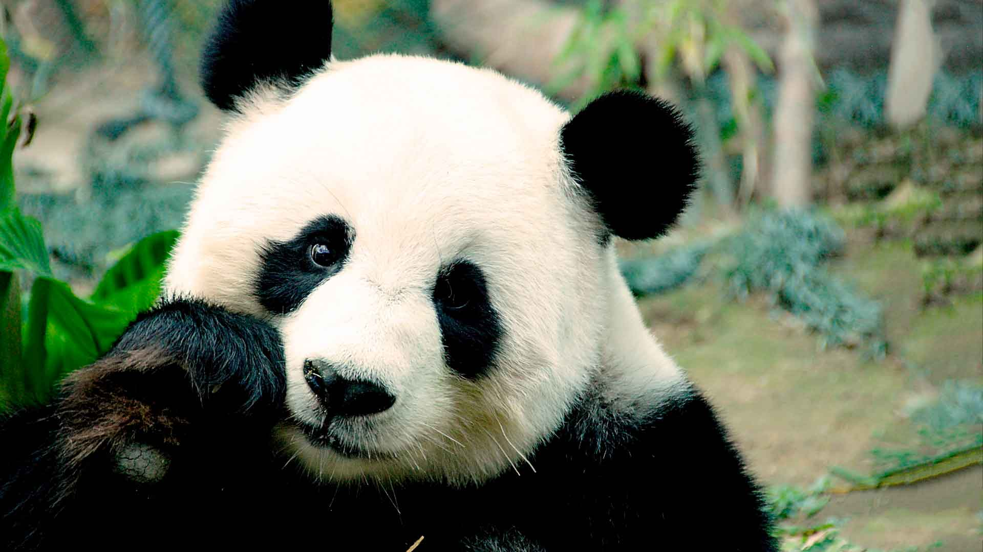 Панда - символ Китая
