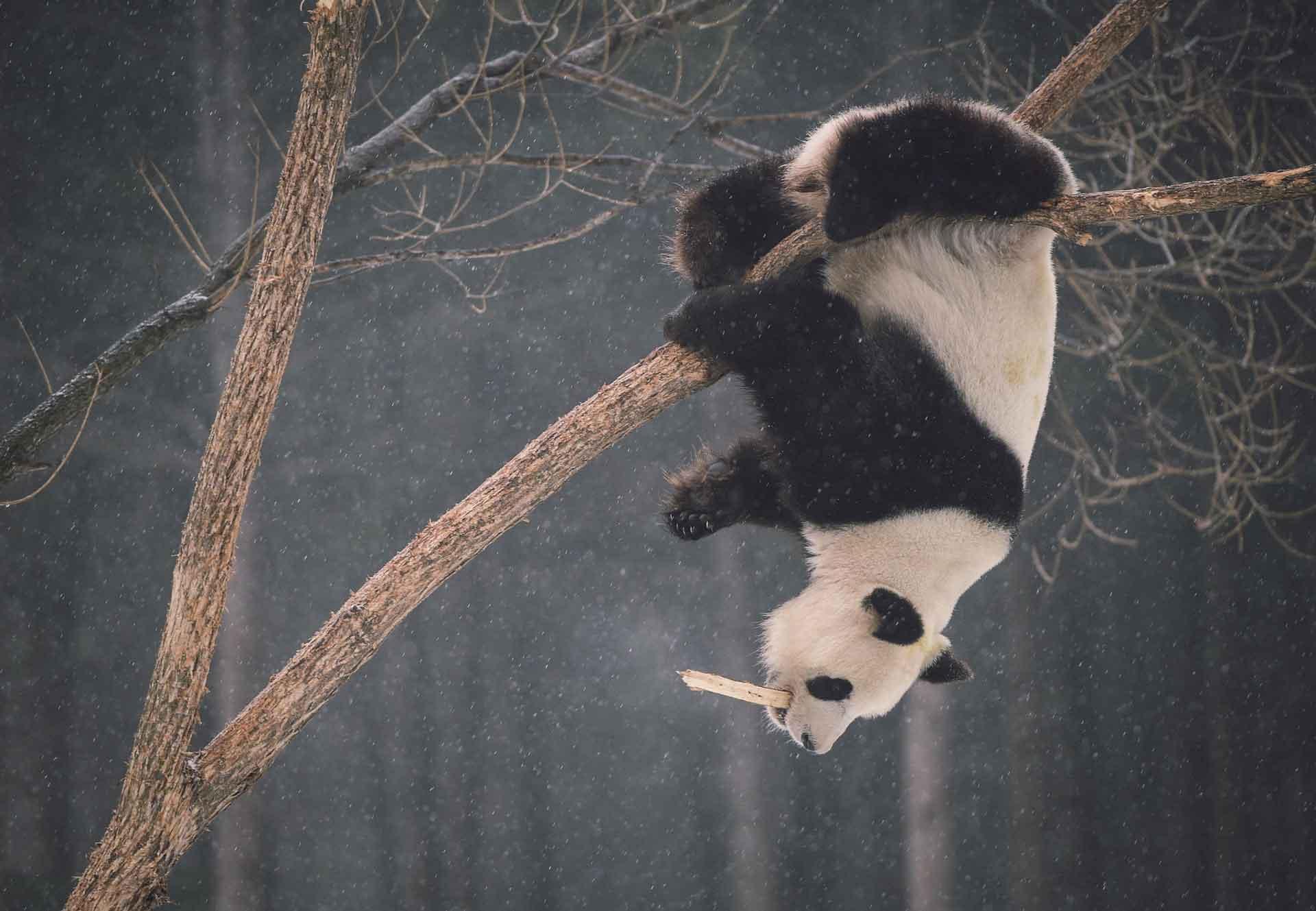 Панда висит на дереве зимой