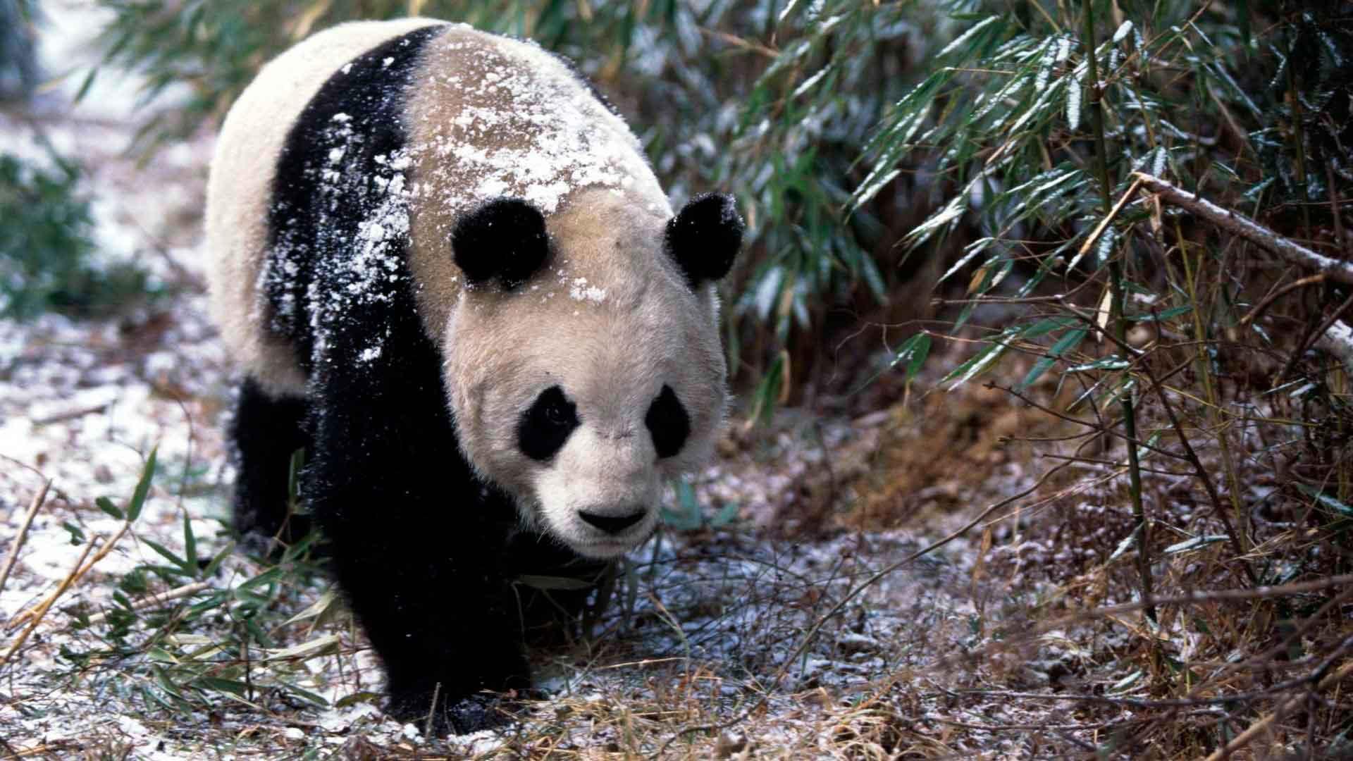 Панда не впадает в спячку зимой