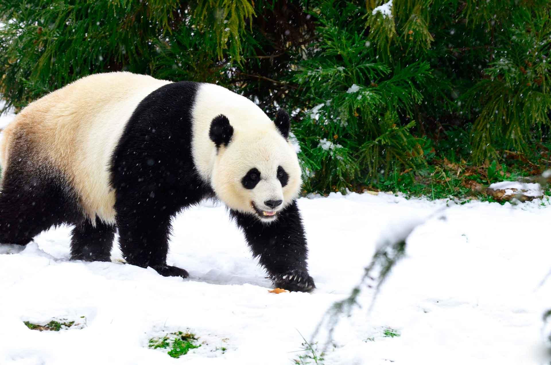 У каждой панды своя территория