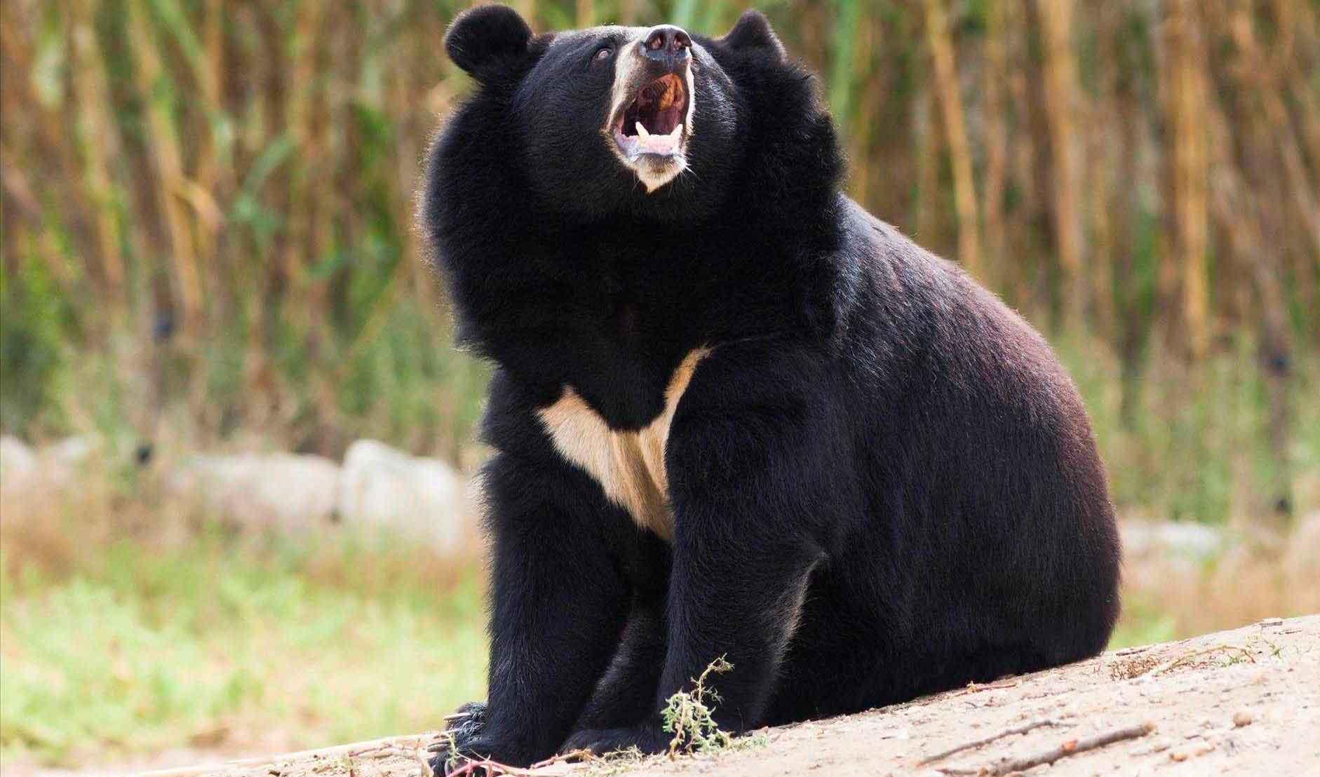 Уссурийский медведь сильное животное
