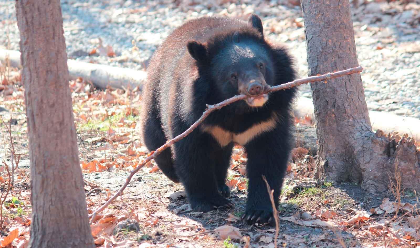 Зимой гималайский медведь впадает в спячку