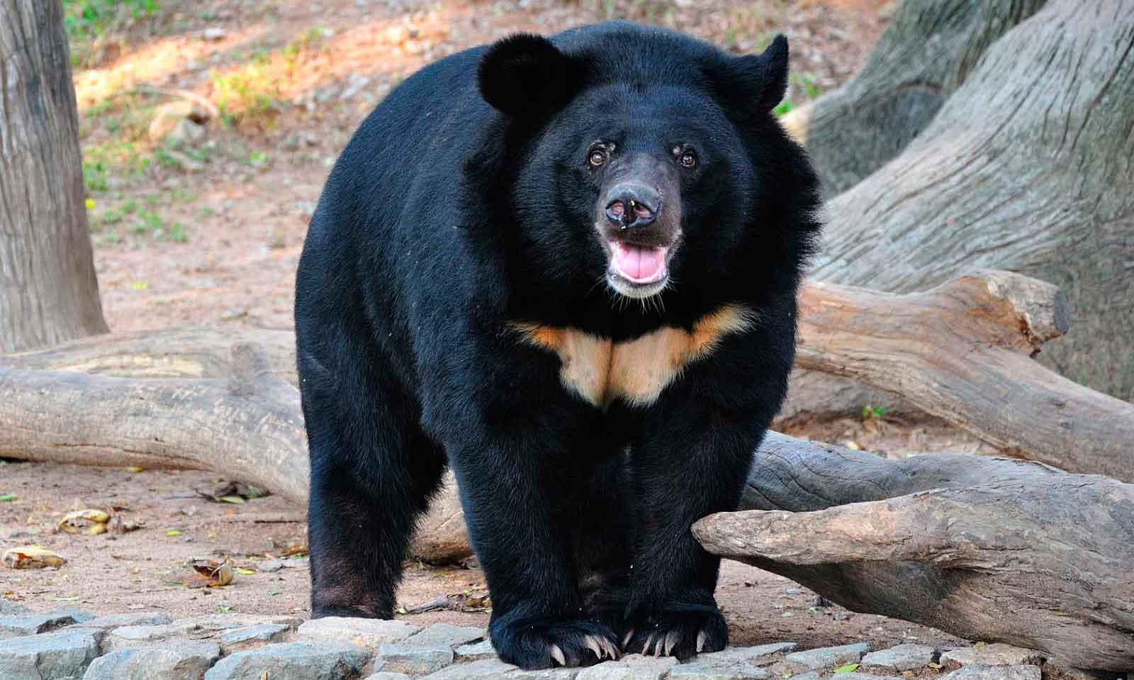 Описание гималайского медведя