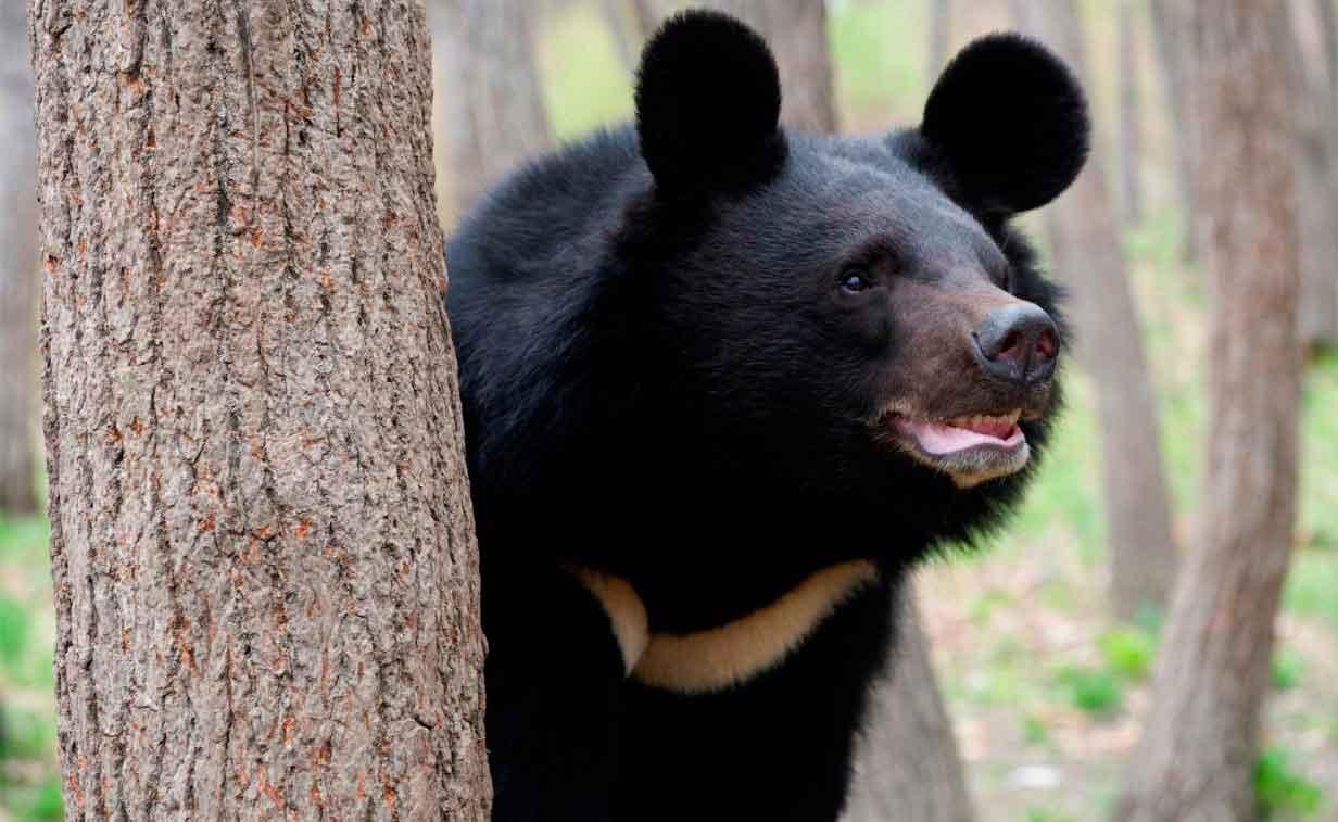 Гималайский медведь обитает в одиночестве