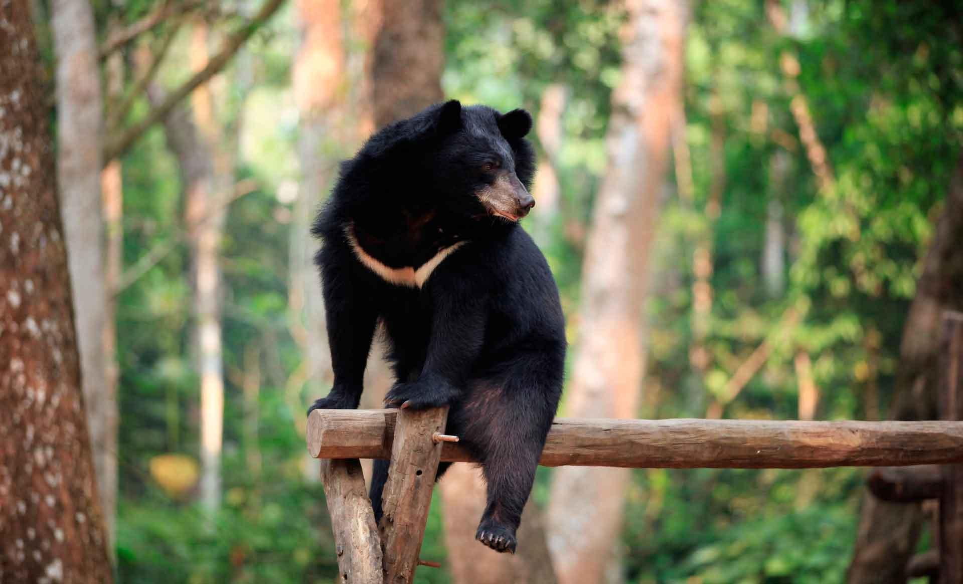 В некоторых странах гималайского медведя разводят на фермах специально для добычы его желчи