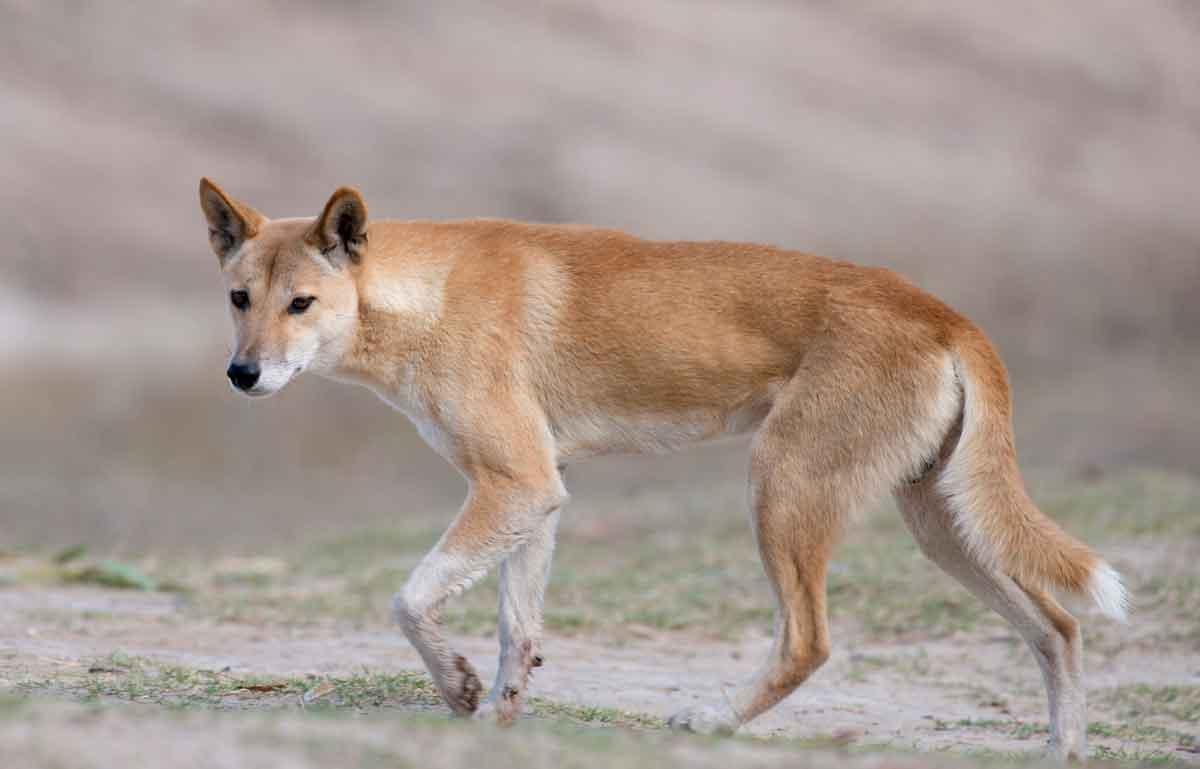 Собака динго живет в полупустынях