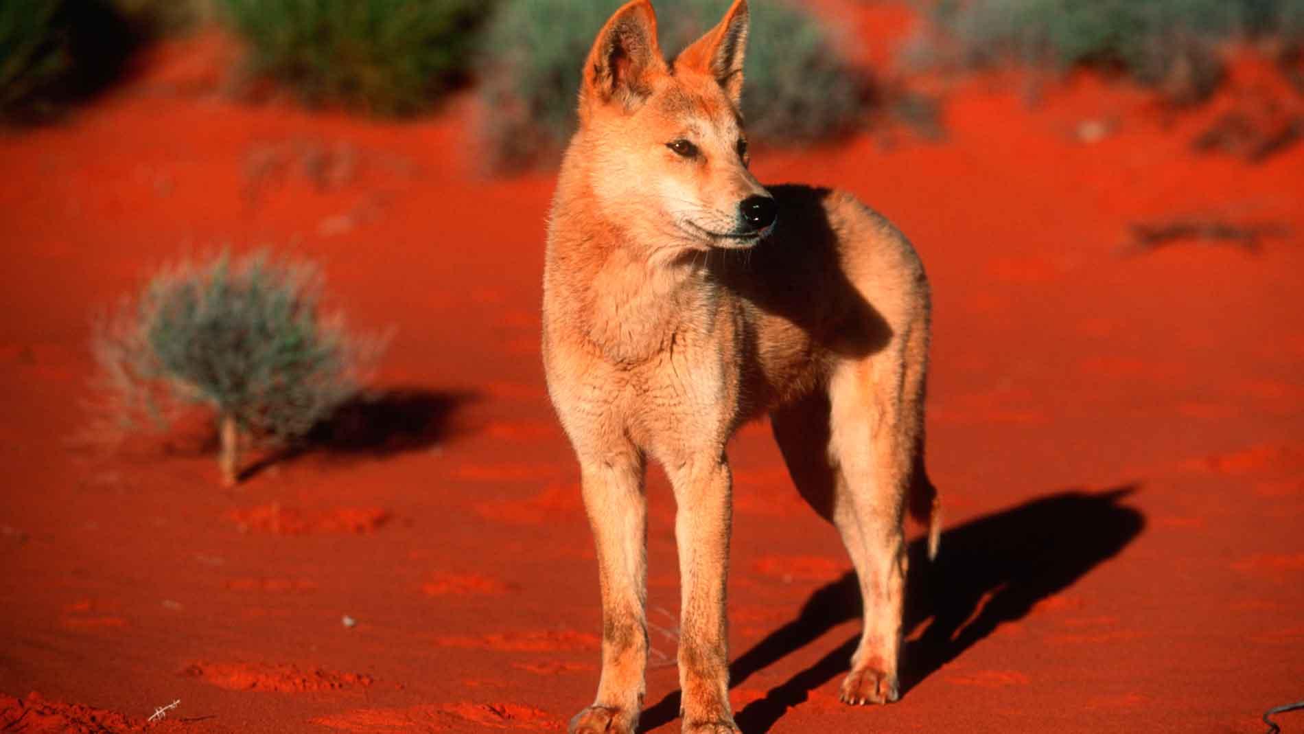 dingo digestion comparison