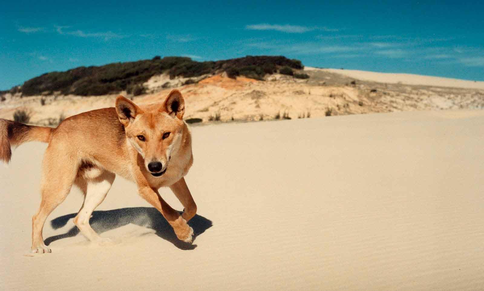 Собака динго обитает в Австралии