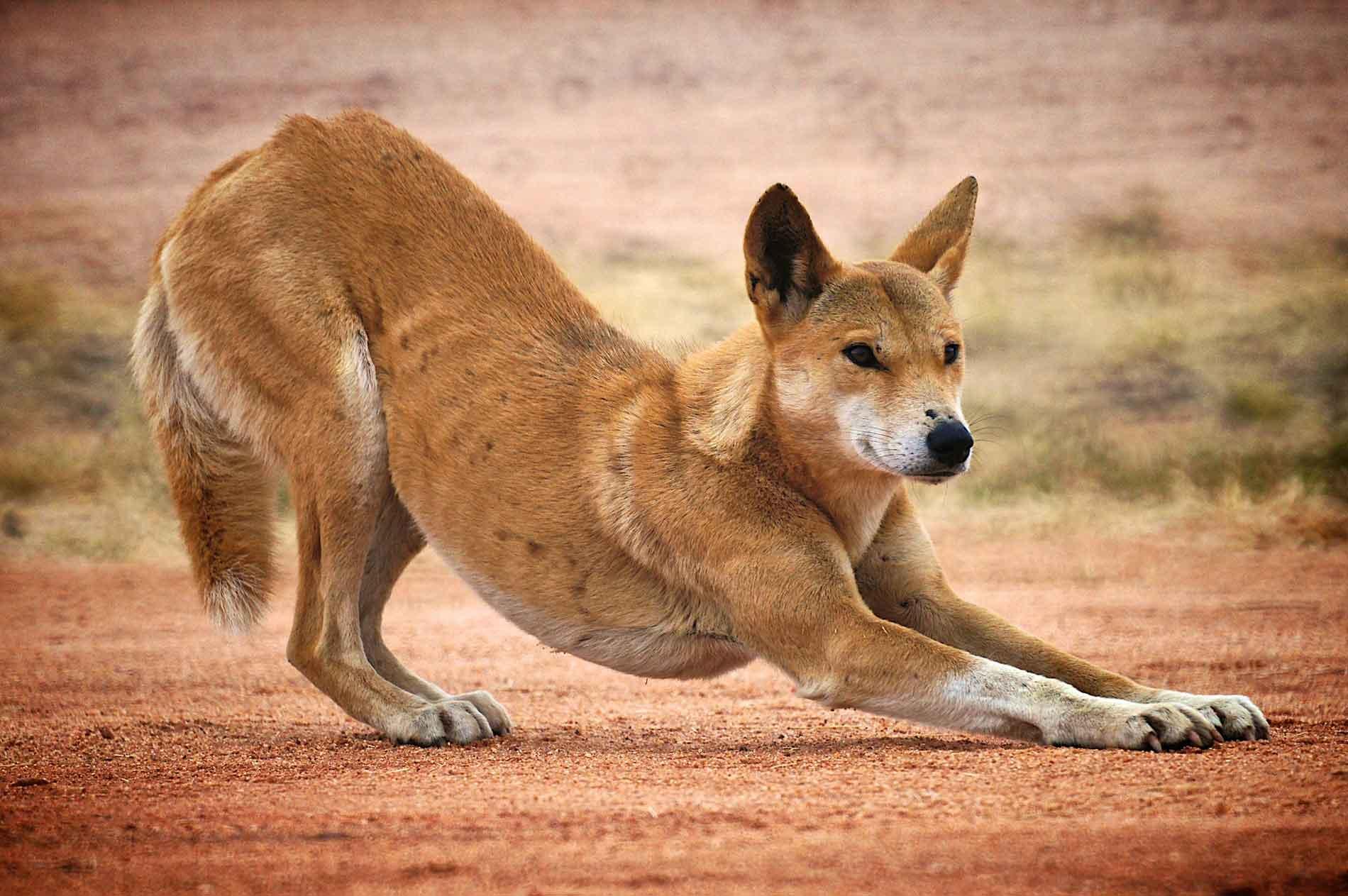 Динго порода собак