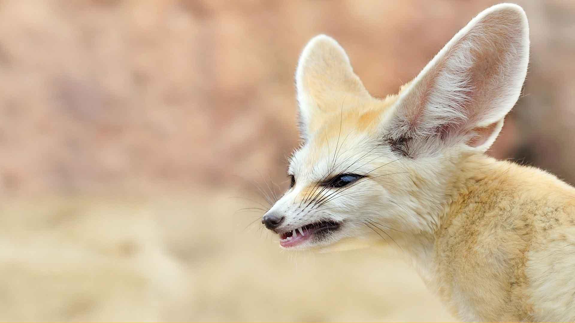 Лиса фенек имеет острые зубы