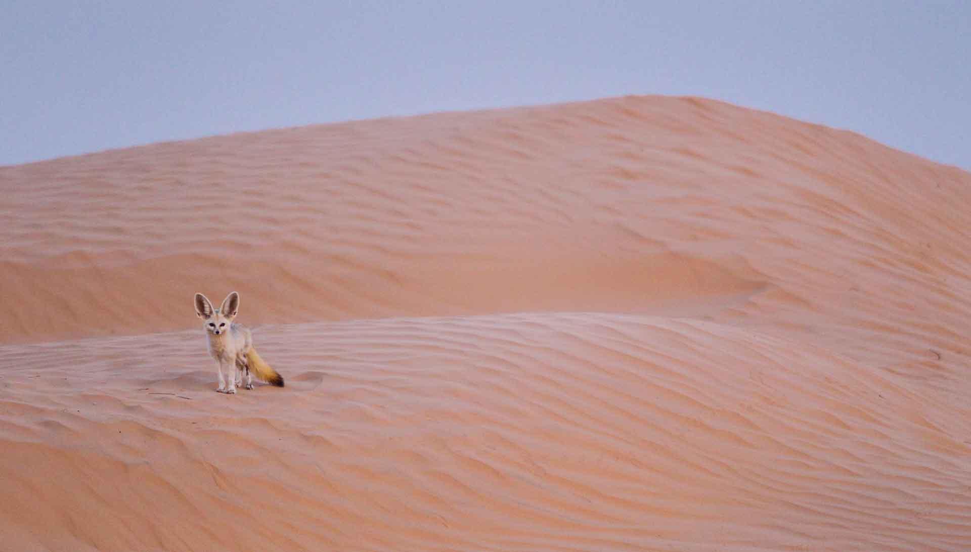 Животное фенек приспособлено к жаркому климату