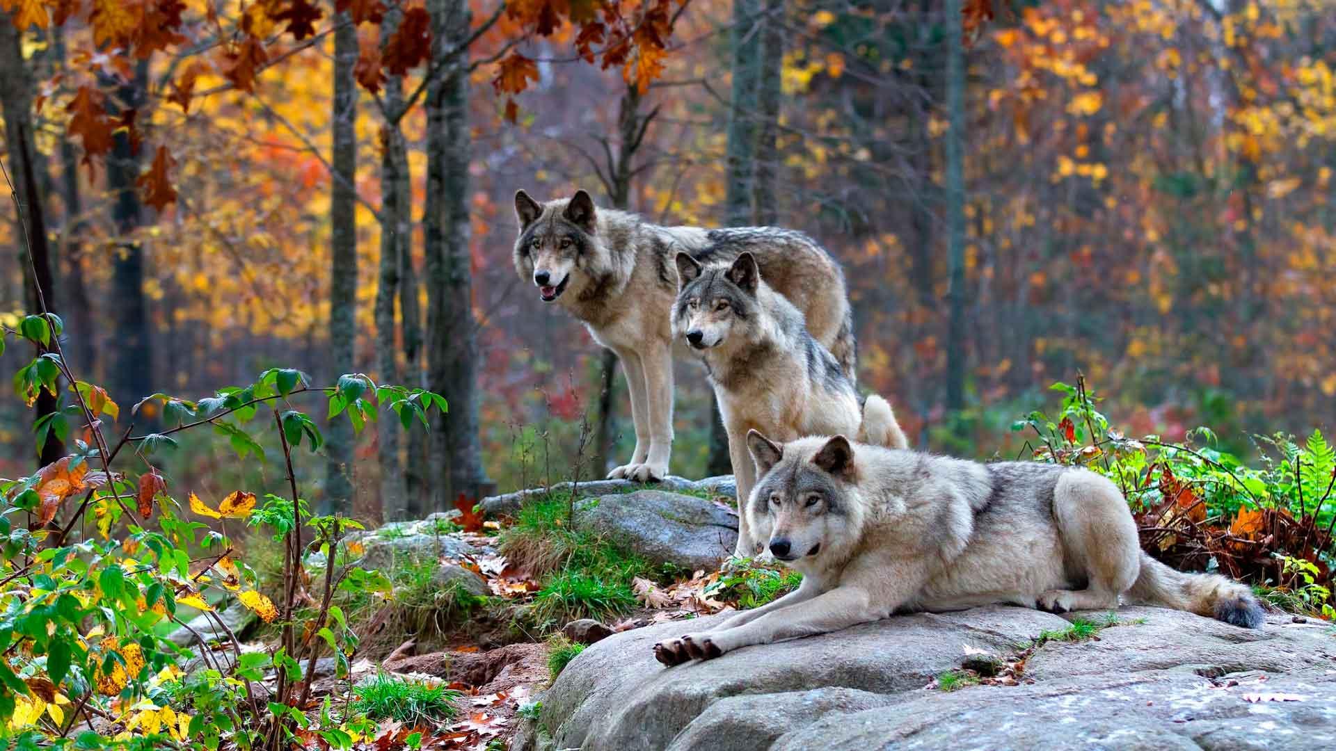 Описание и фото волка обыкновенного