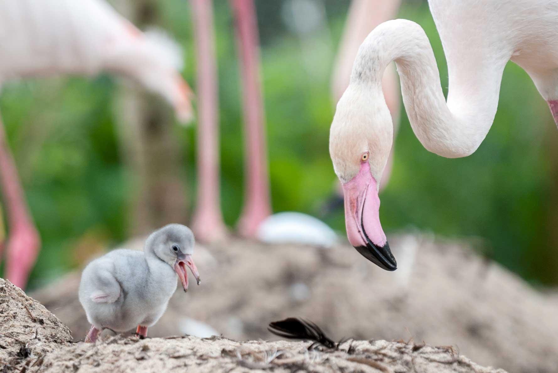Обыкновенный фламинго – восьмое чудо света