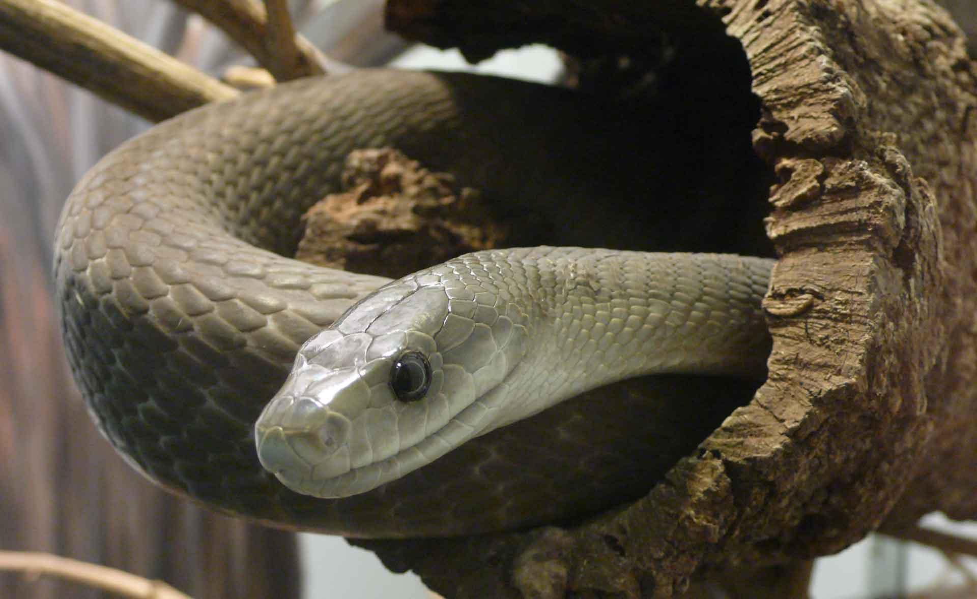 Обитание мамба змея черная