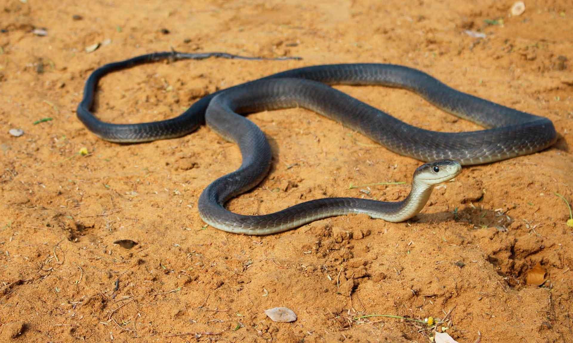 змея черная мамба купить