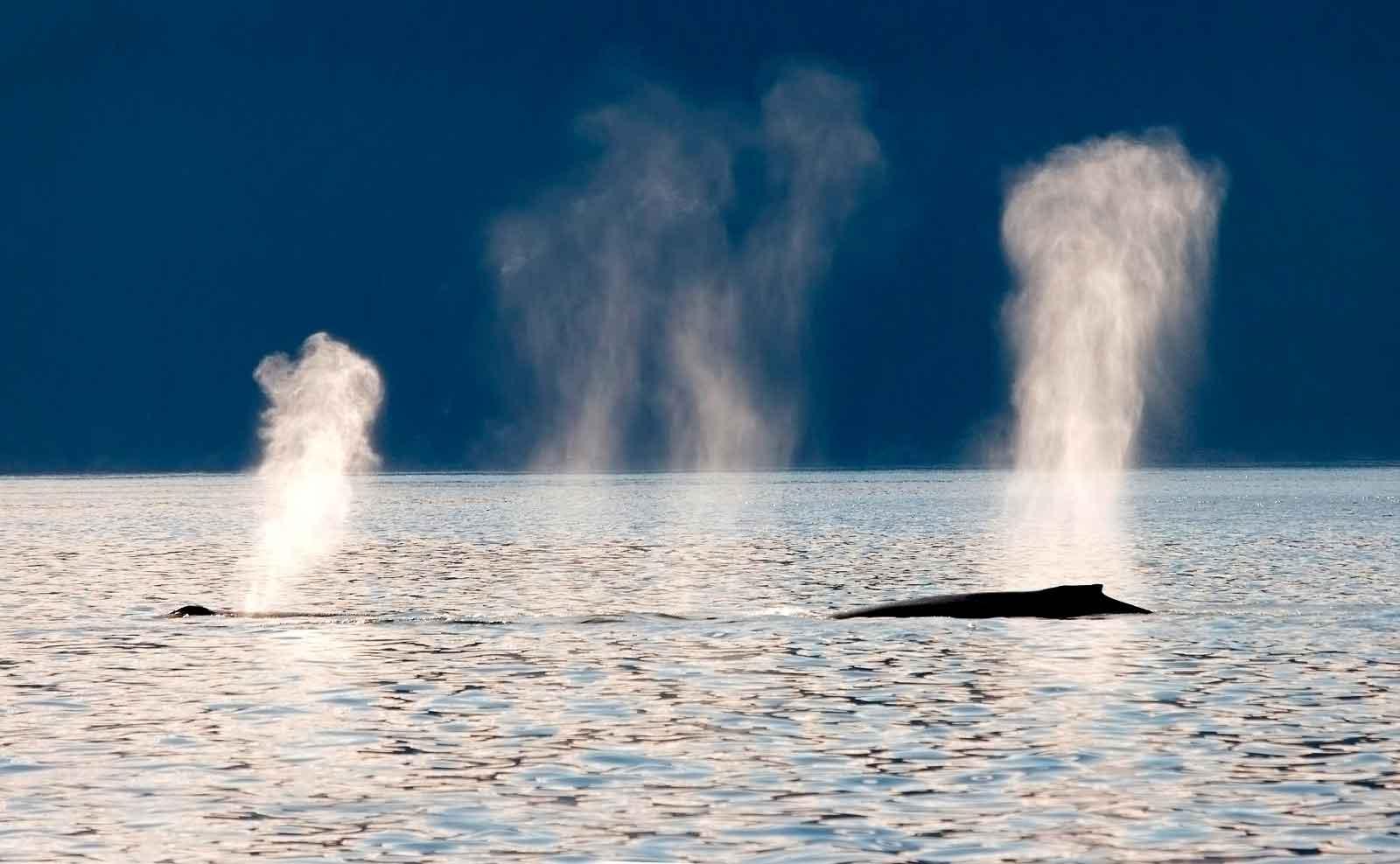 Самка синего кита с детенышем
