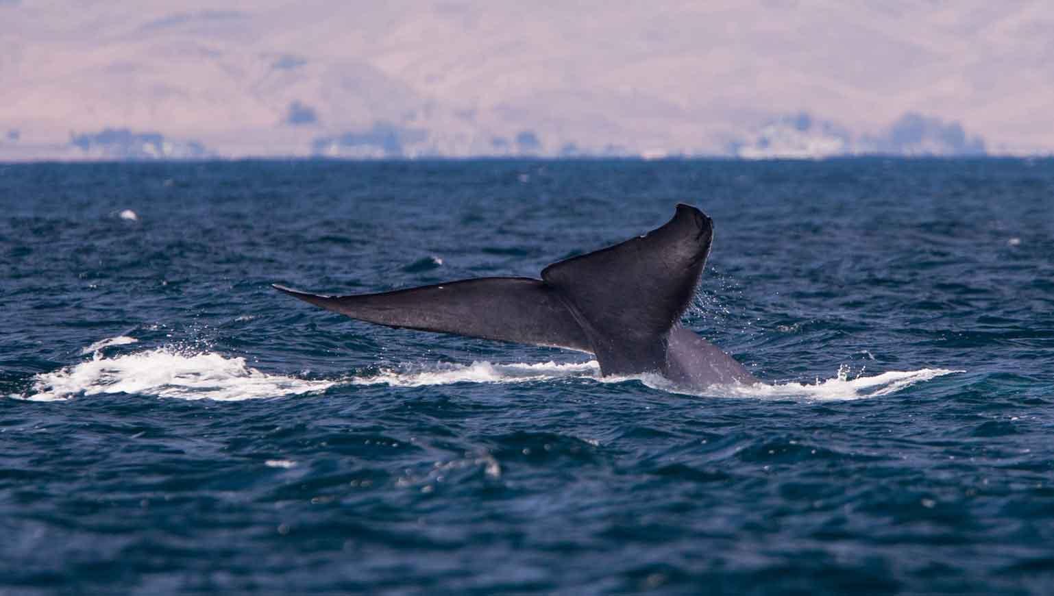 Хвост синего кита