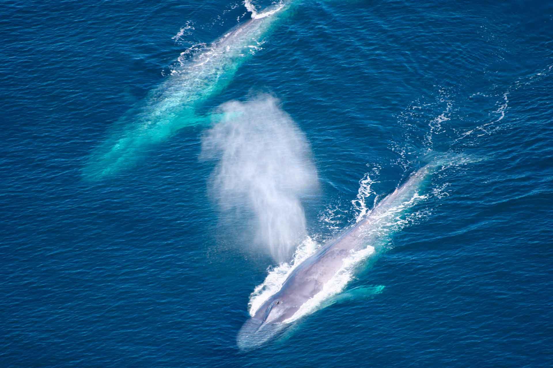 Как живет синий кит